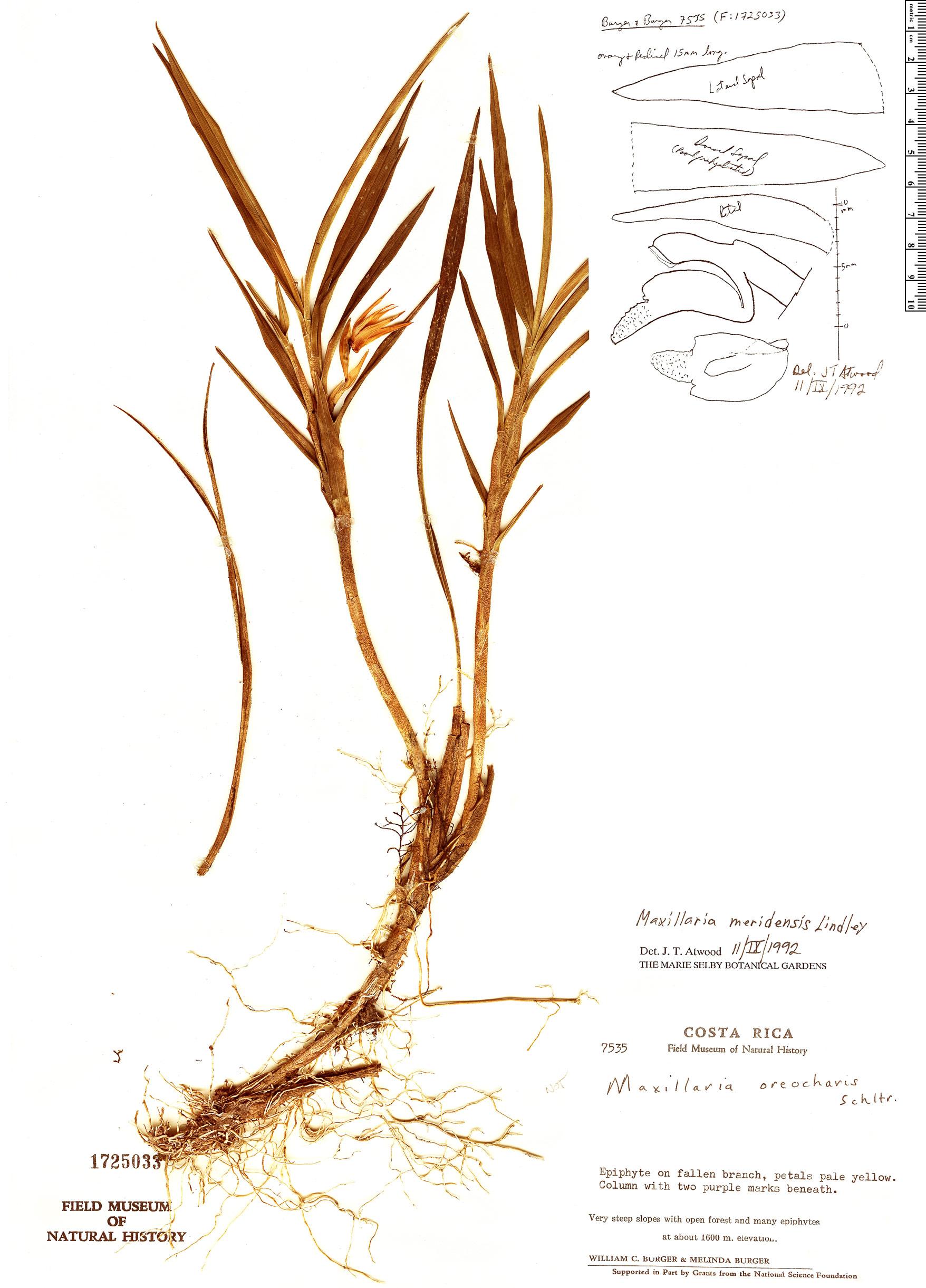 Specimen: Maxillaria meridensis
