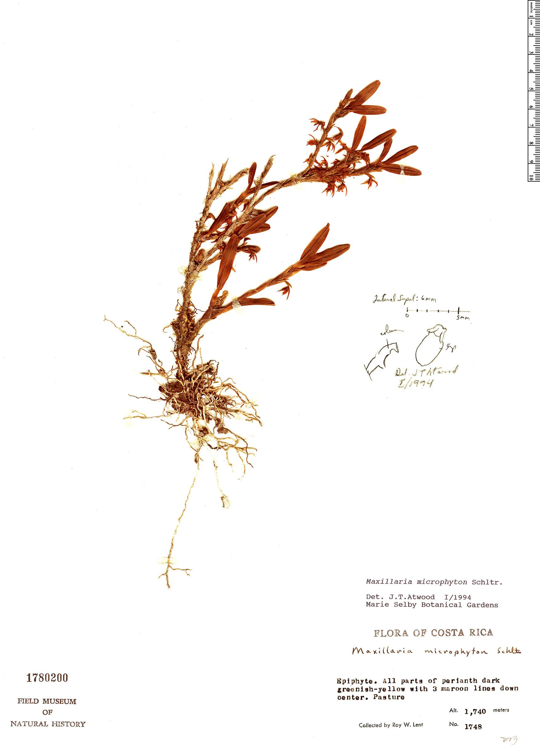 Specimen: Maxillaria microphyton