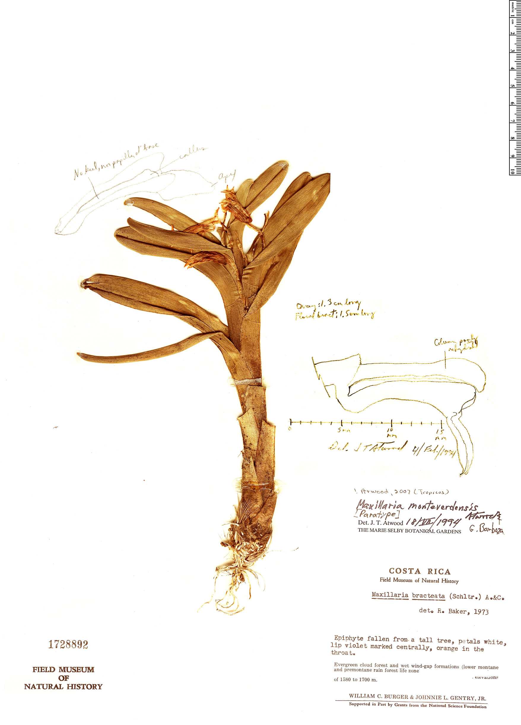 Specimen: Maxillaria monteverdensis