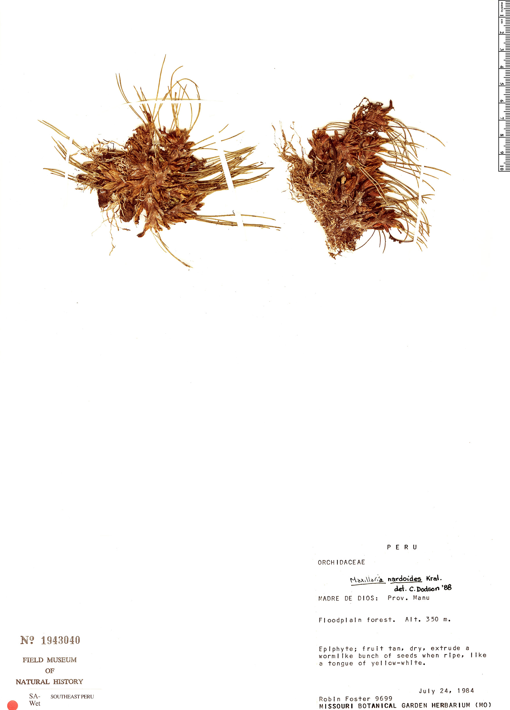 Specimen: Maxillaria nardoides
