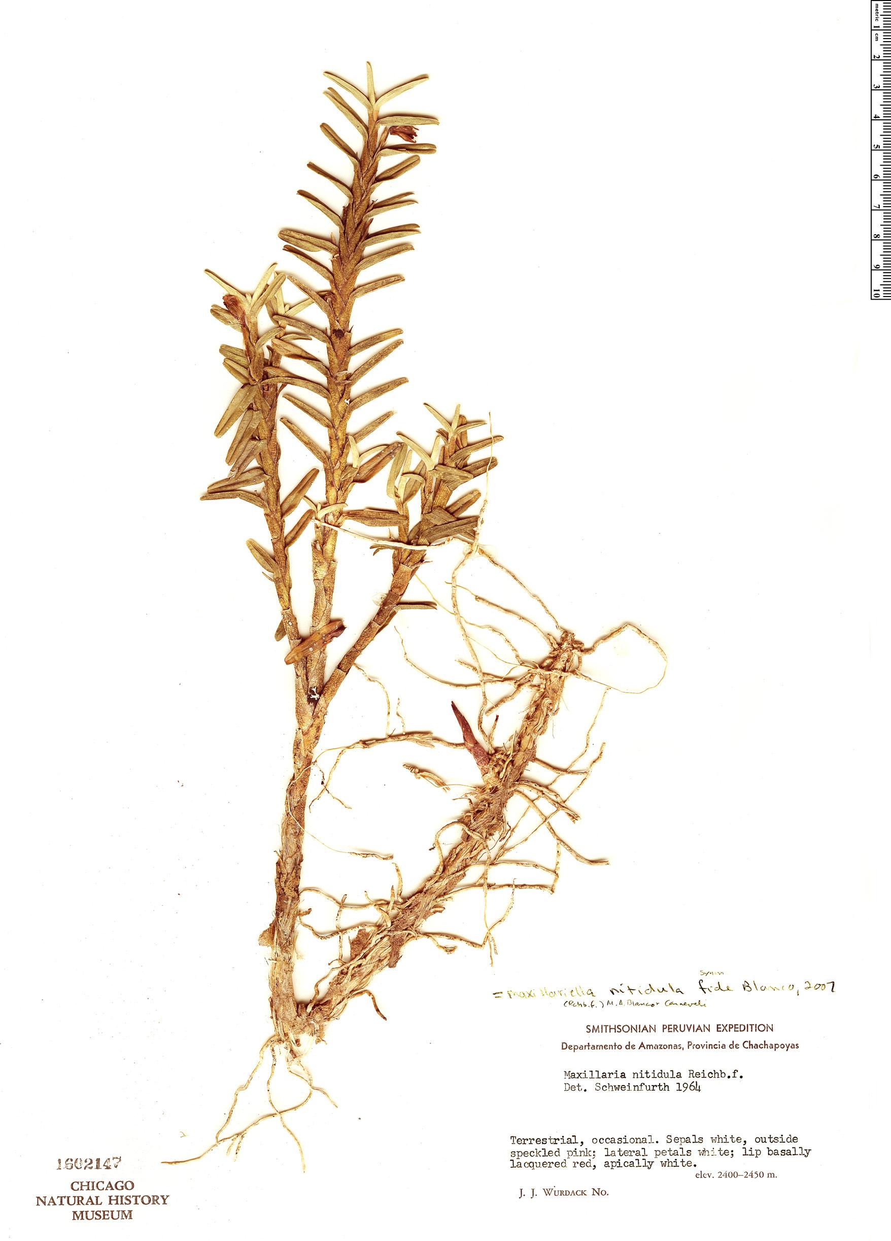 Specimen: Maxillaria nitidula