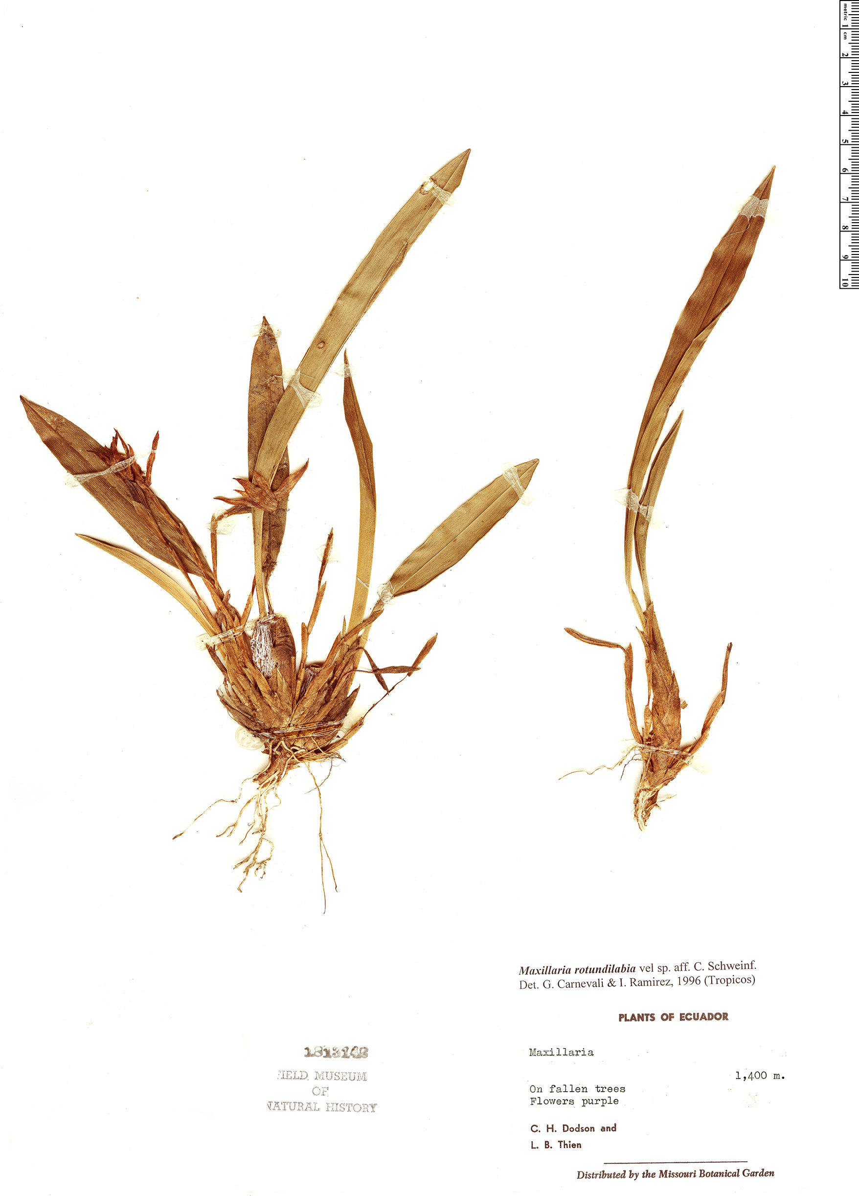 Specimen: Maxillaria rotundilabia
