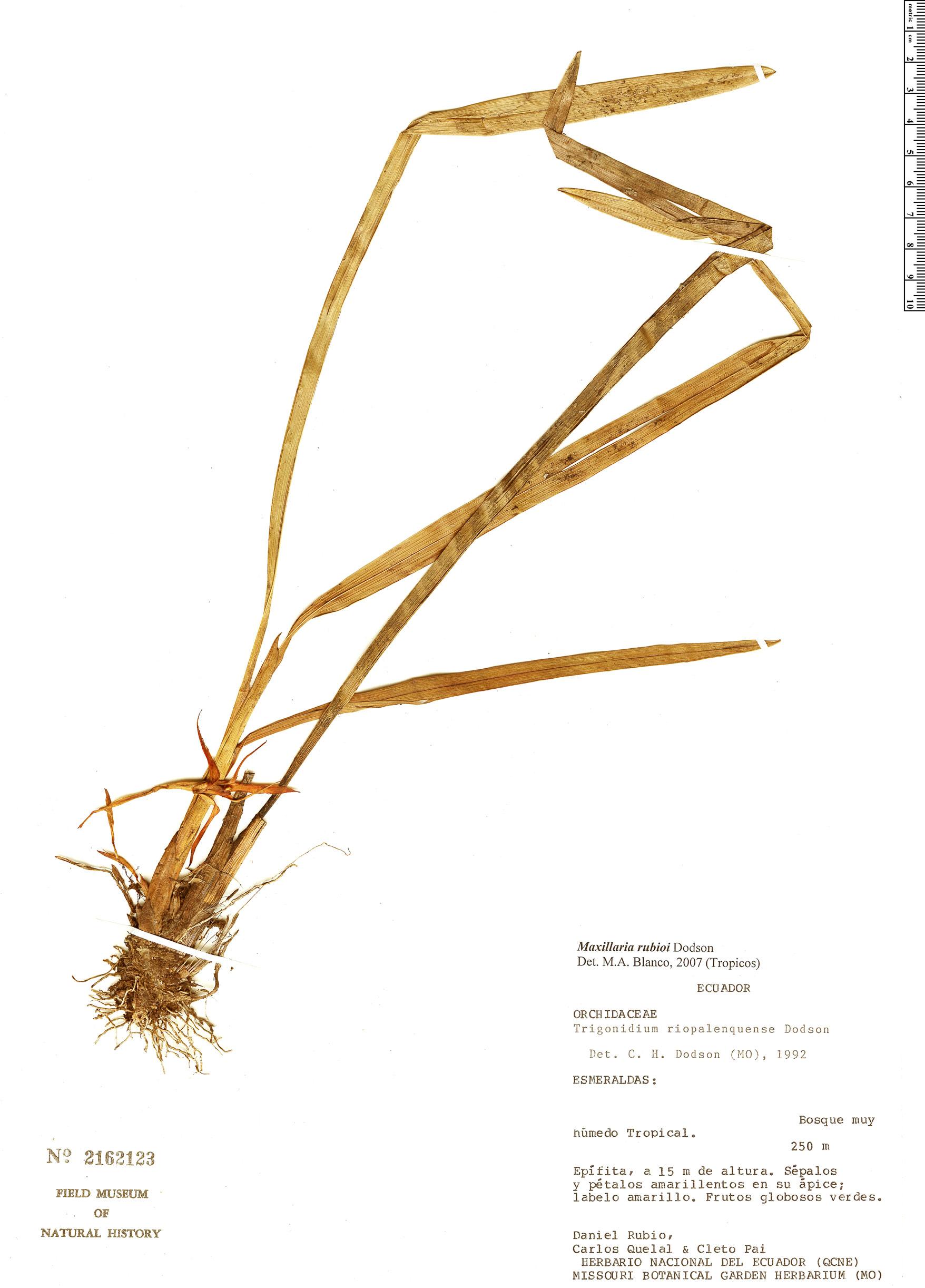 Specimen: Maxillaria rubioi