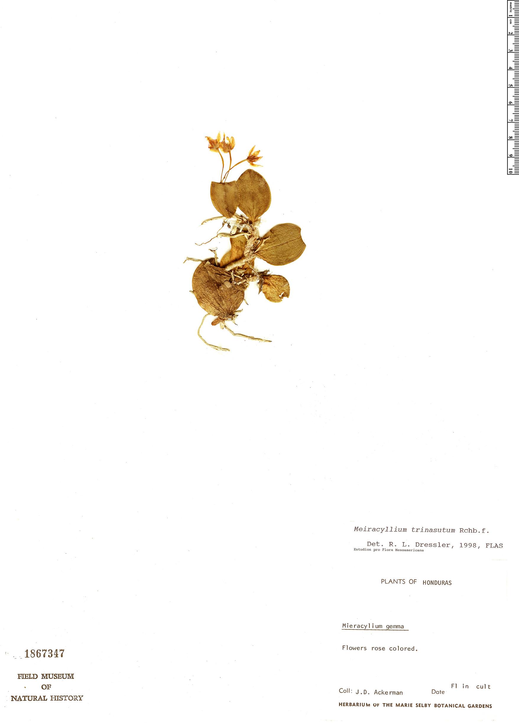 Specimen: Meiracyllium trinasutum