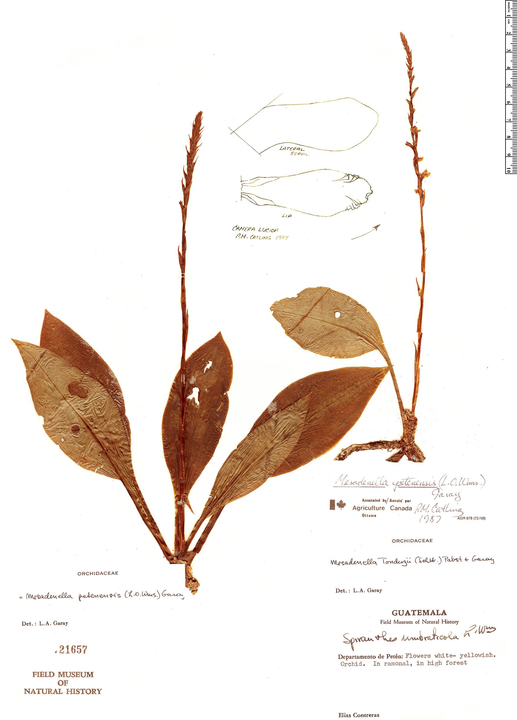 Specimen: Mesadenella petenensis
