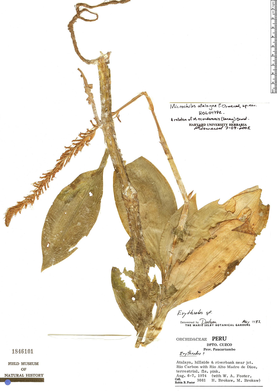 Specimen: Microchilus atalayae