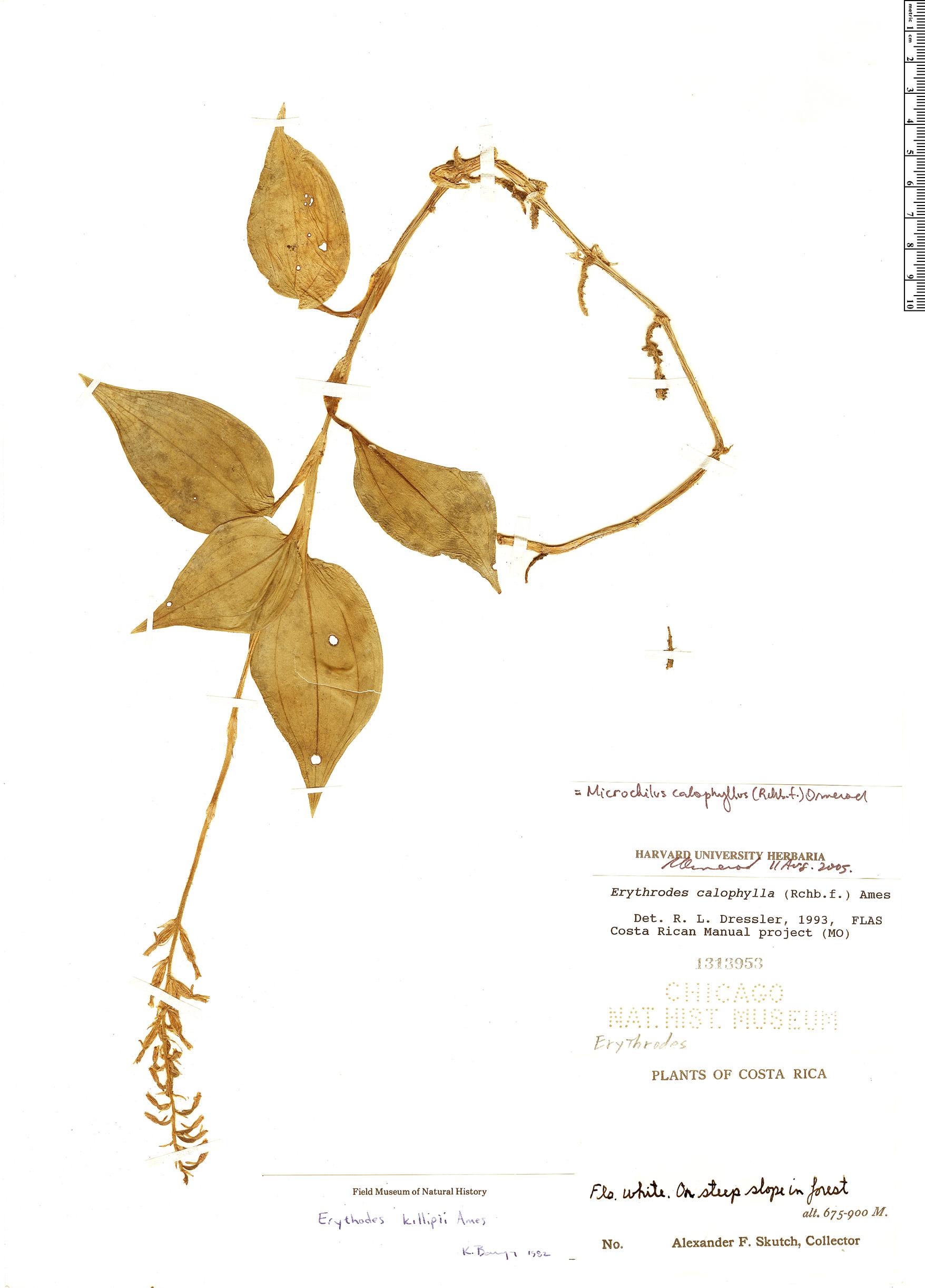 Specimen: Microchilus calophyllus