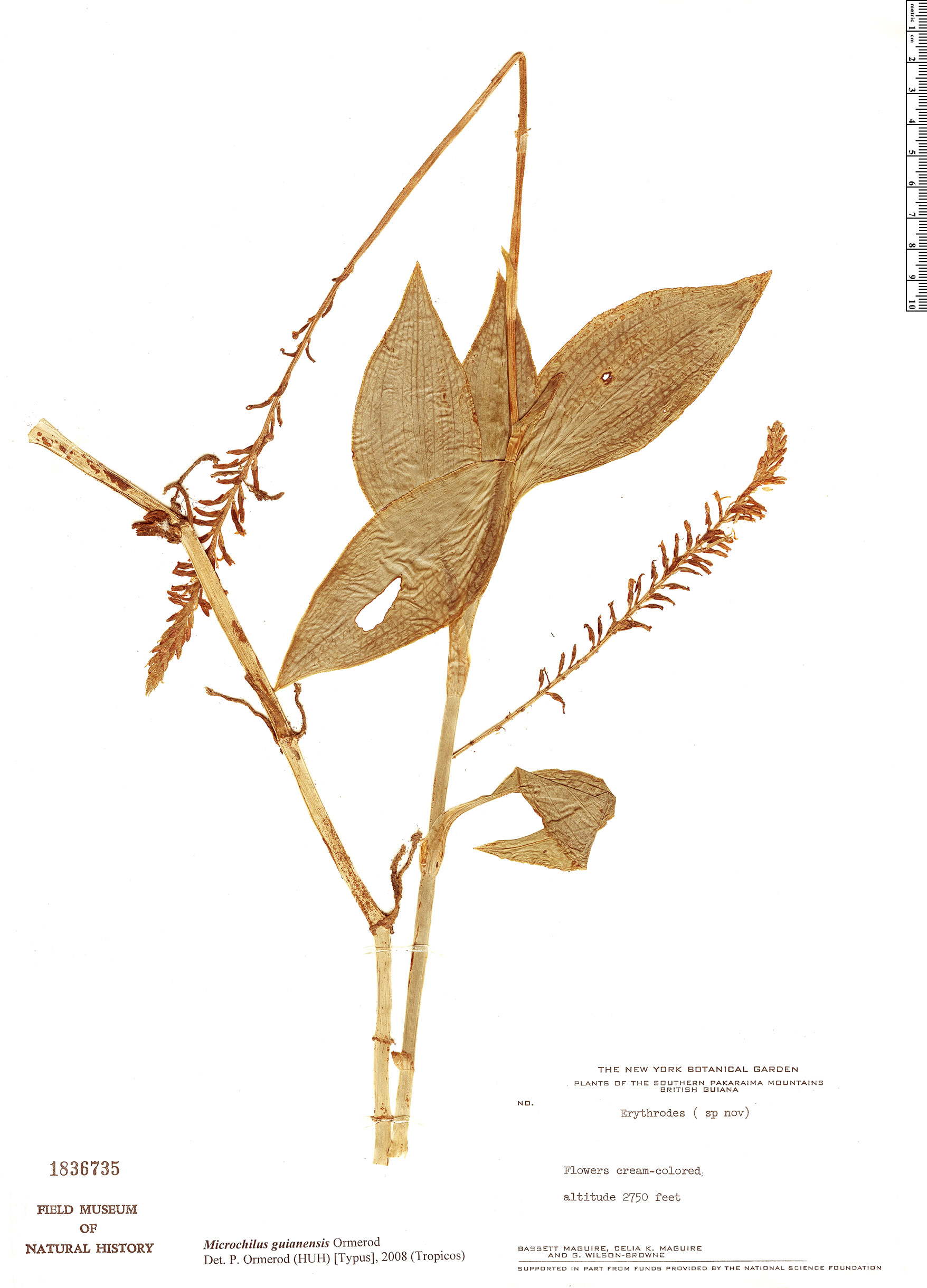Specimen: Microchilus guianensis