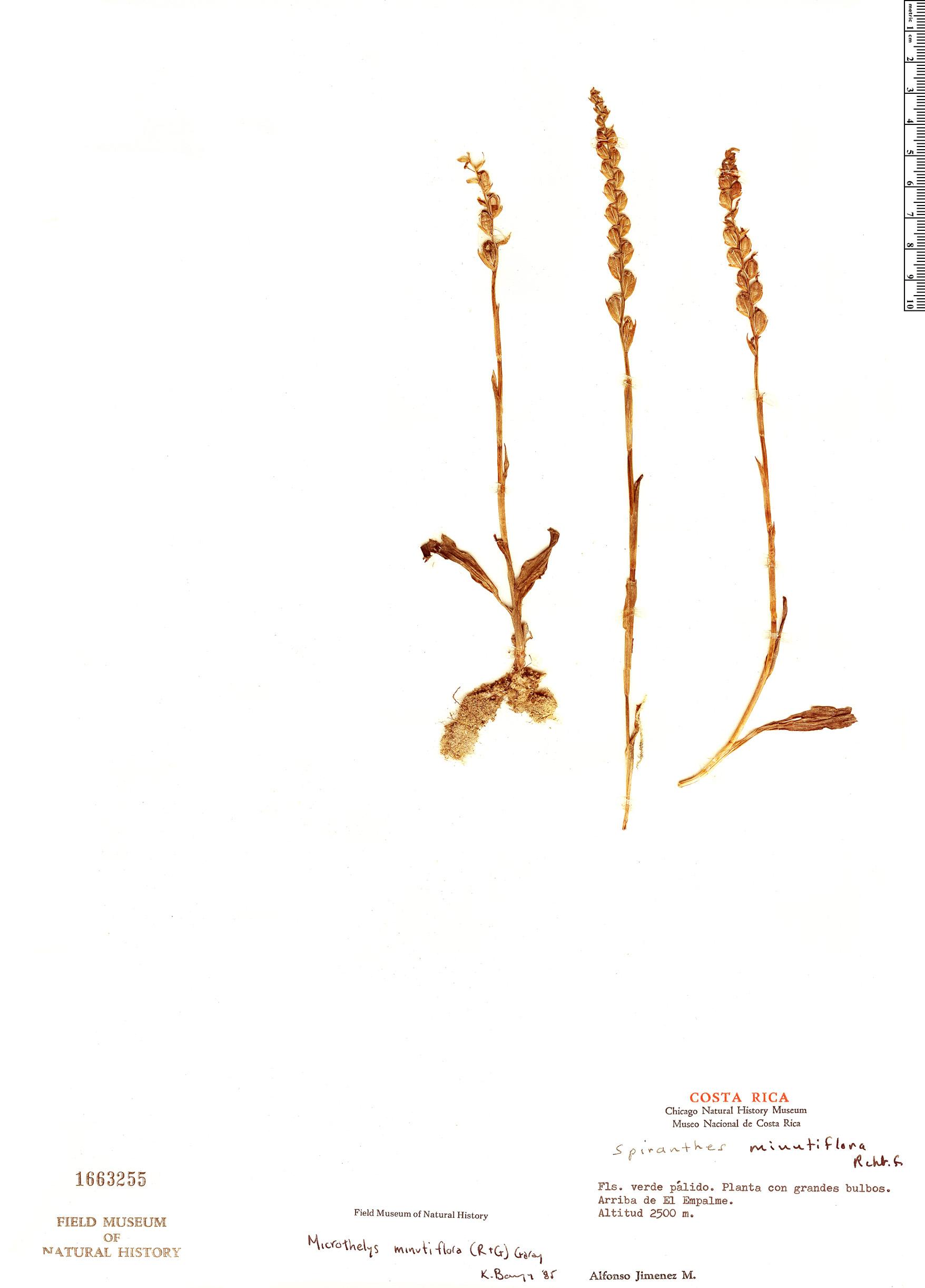 Espécime: Galeottiella minutiflora