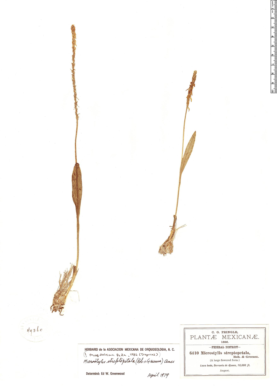 Specimen: Microstylis streptopetala