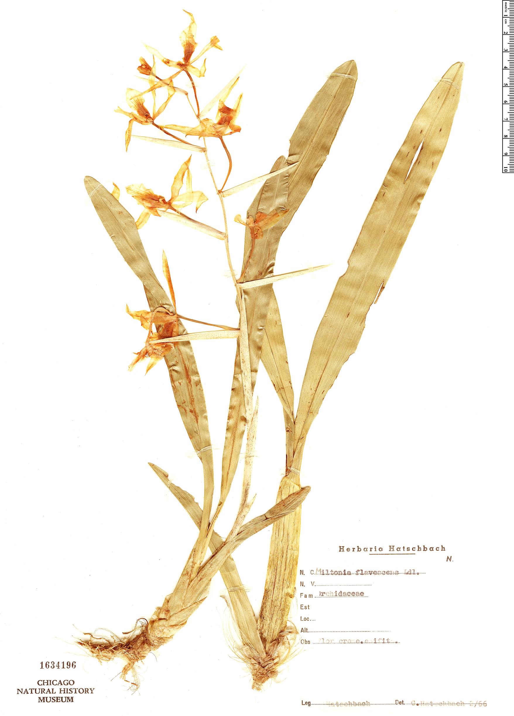 Specimen: Miltonia flavescens