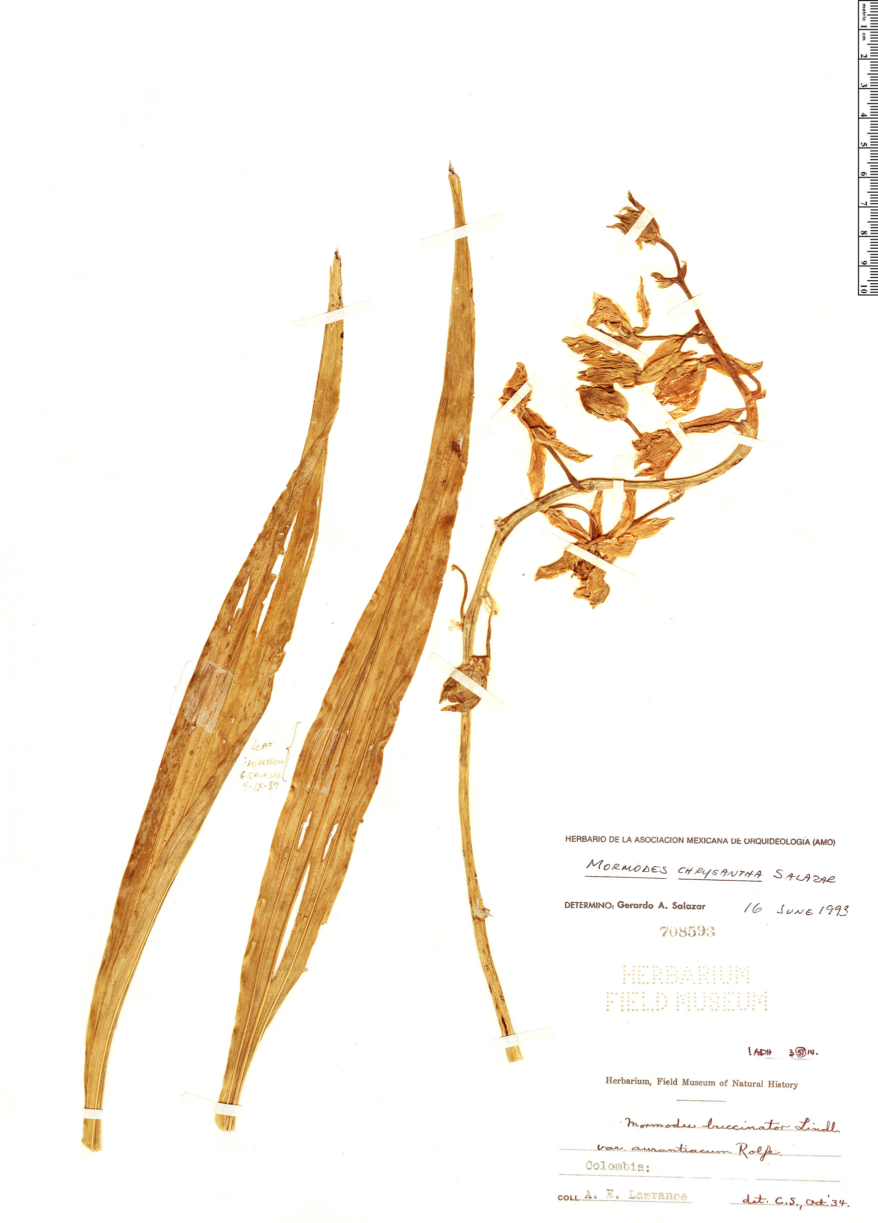 Specimen: Mormodes chrysantha