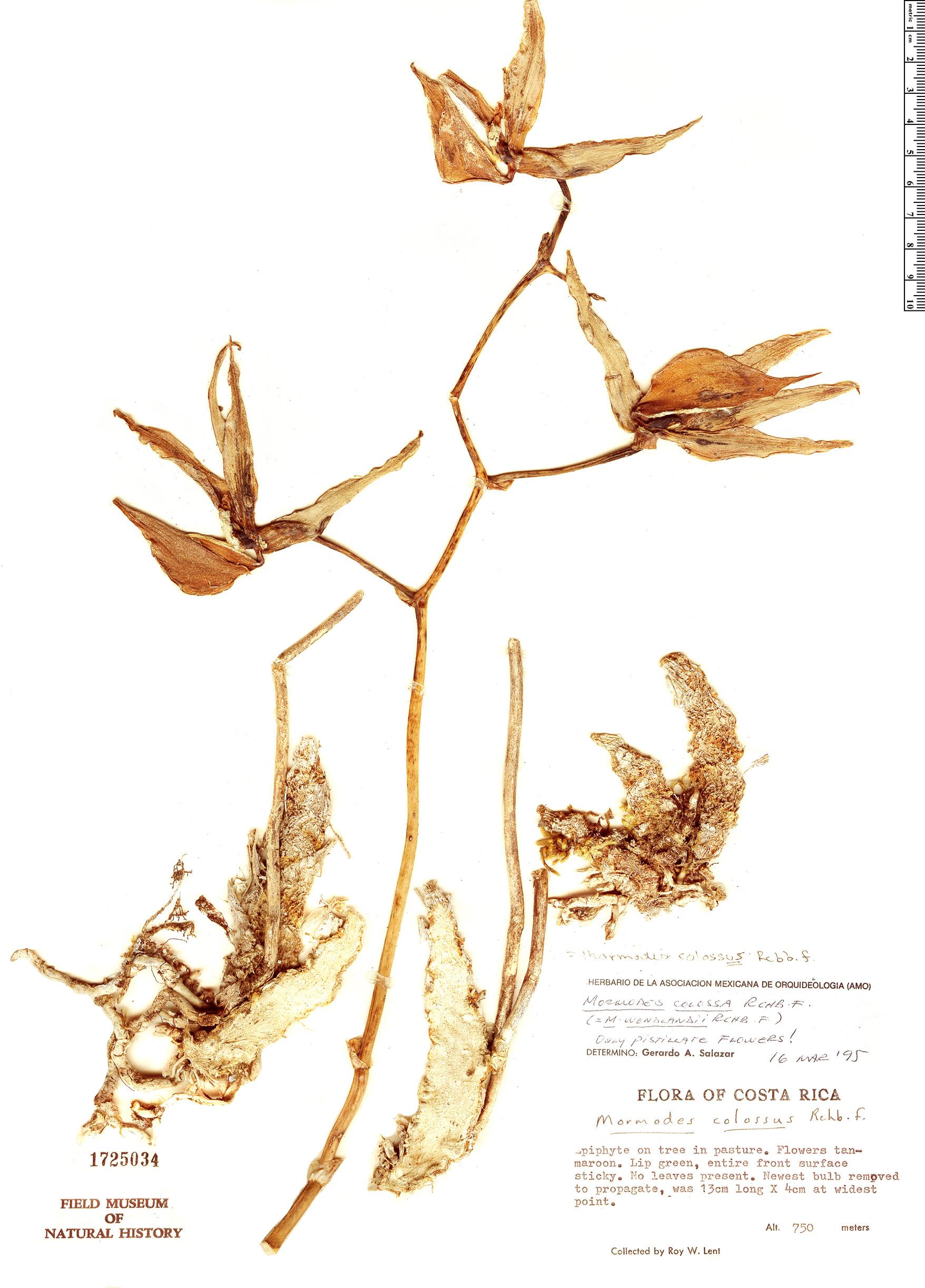 Specimen: Mormodes colossus