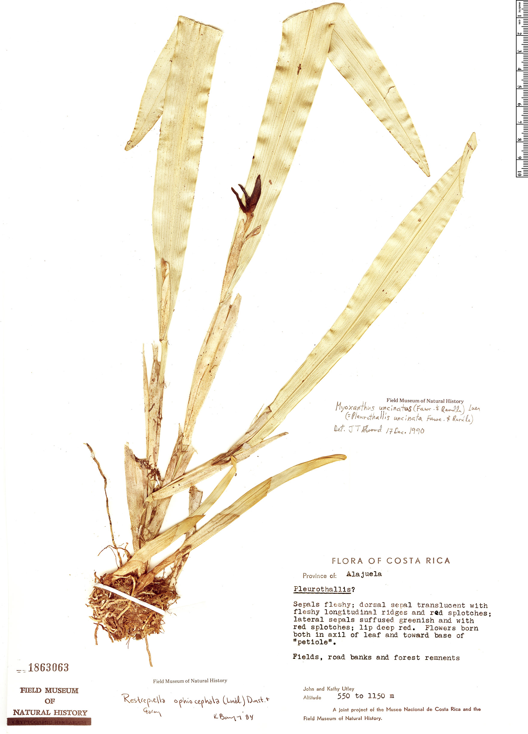 Specimen: Echinosepala uncinata