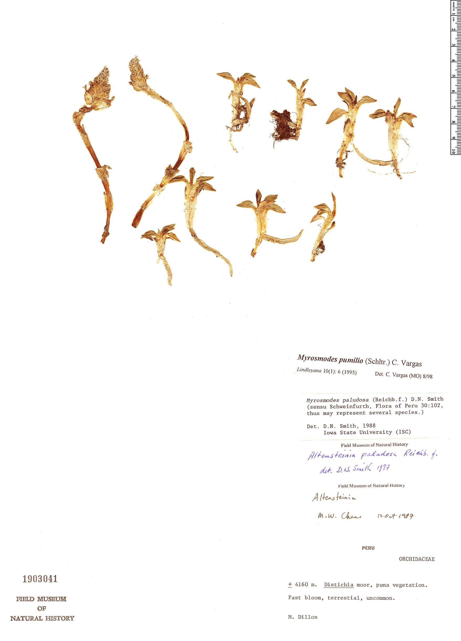 Specimen: Myrosmodes pumilio