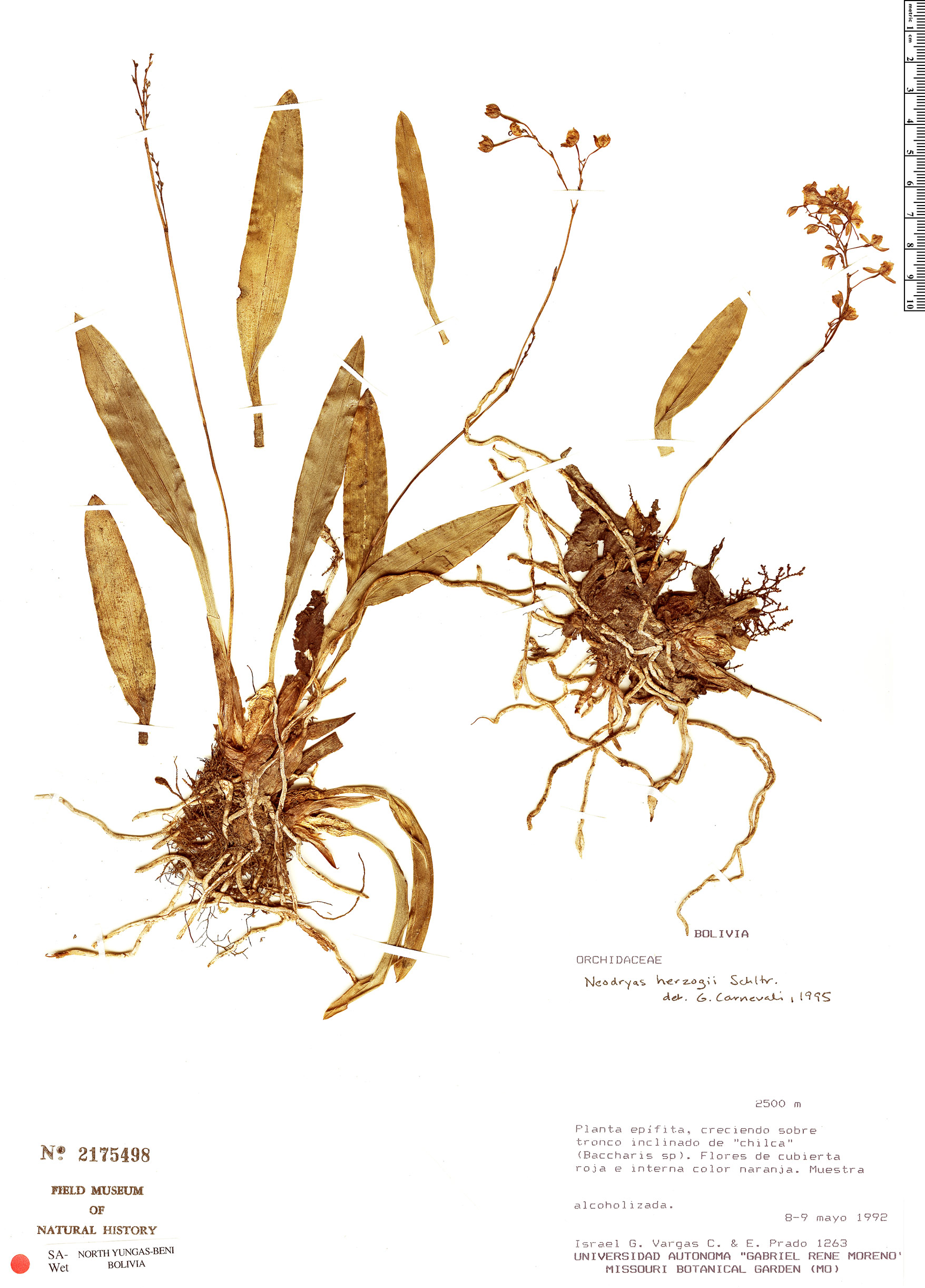 Specimen: Neodryas herzogii