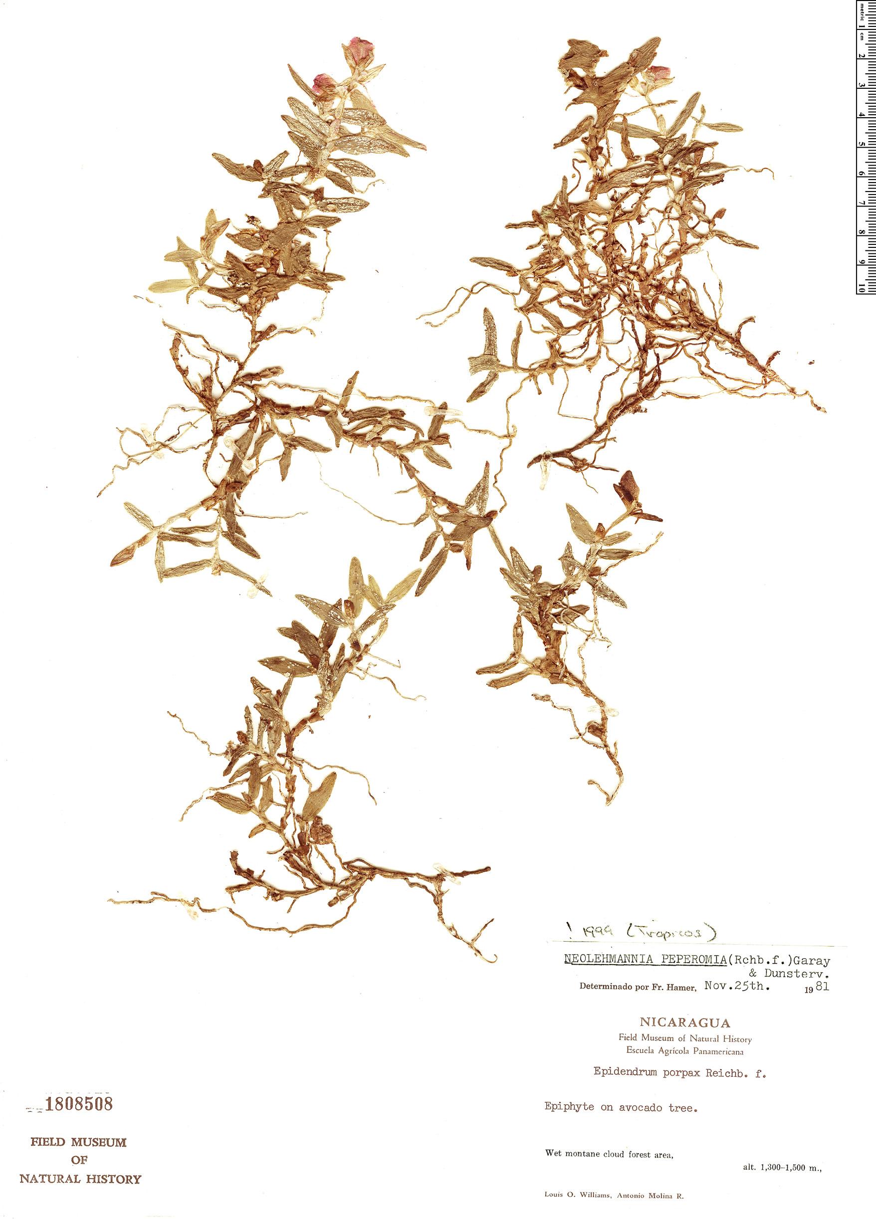 Specimen: Epidendrum peperomia