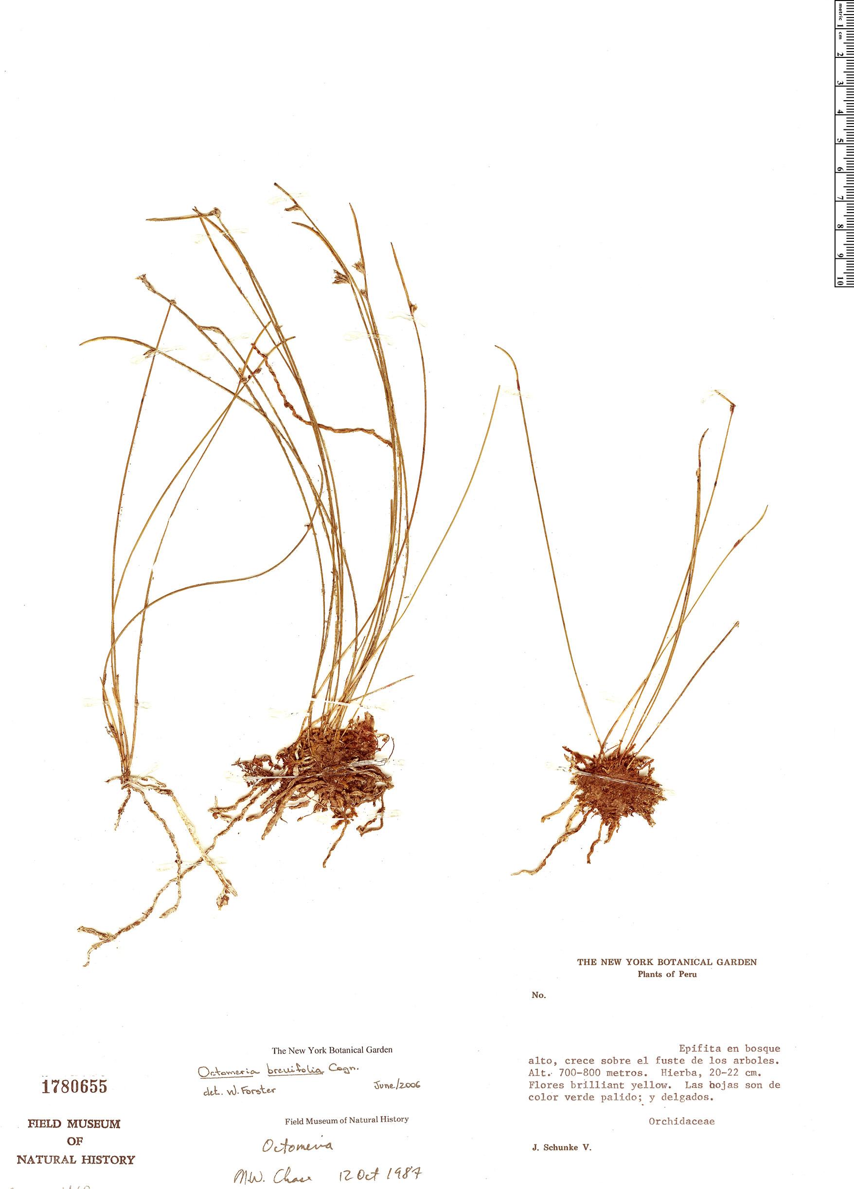 Espécimen: Octomeria scirpoidea