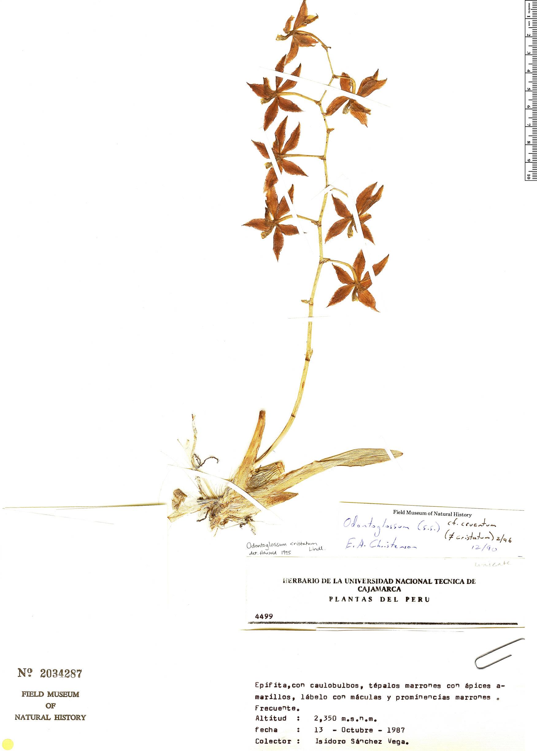 Espécime: Oncidium cruentoides