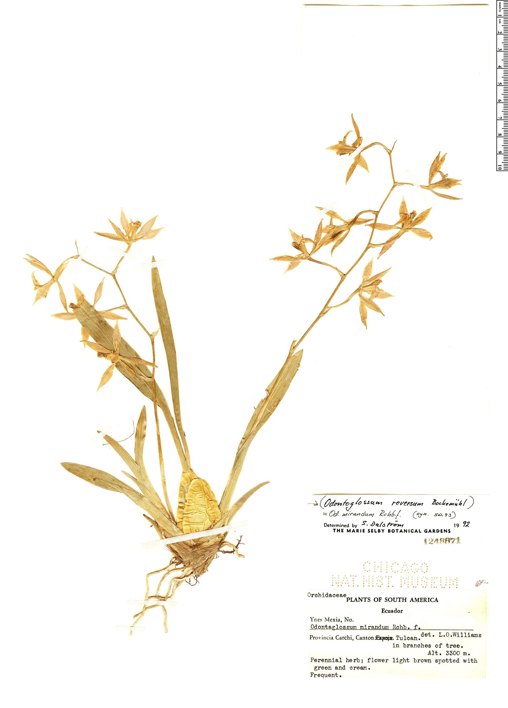 Specimen: Odontoglossum reversum
