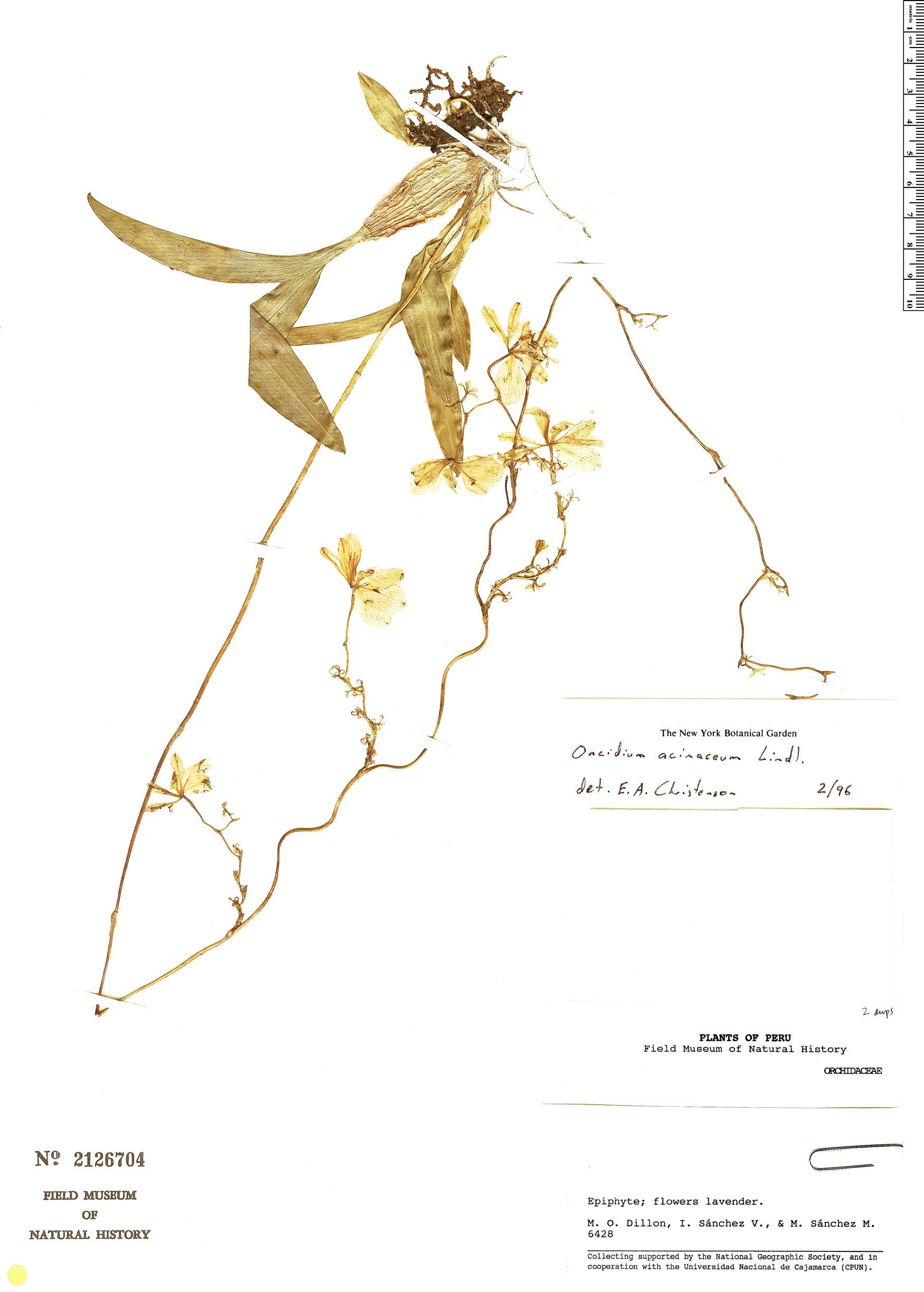 Specimen: Oncidium acinaceum