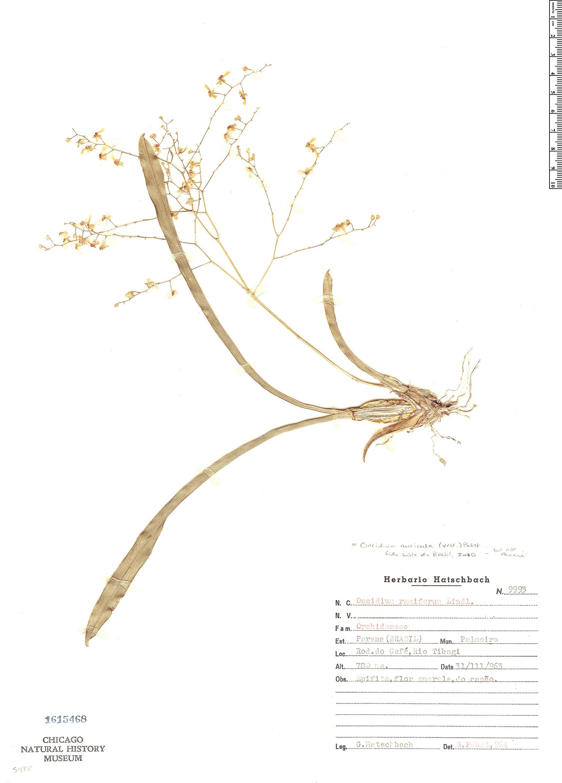 Specimen: Grandiphyllum auricula