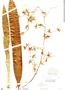 Oncidium baueri image