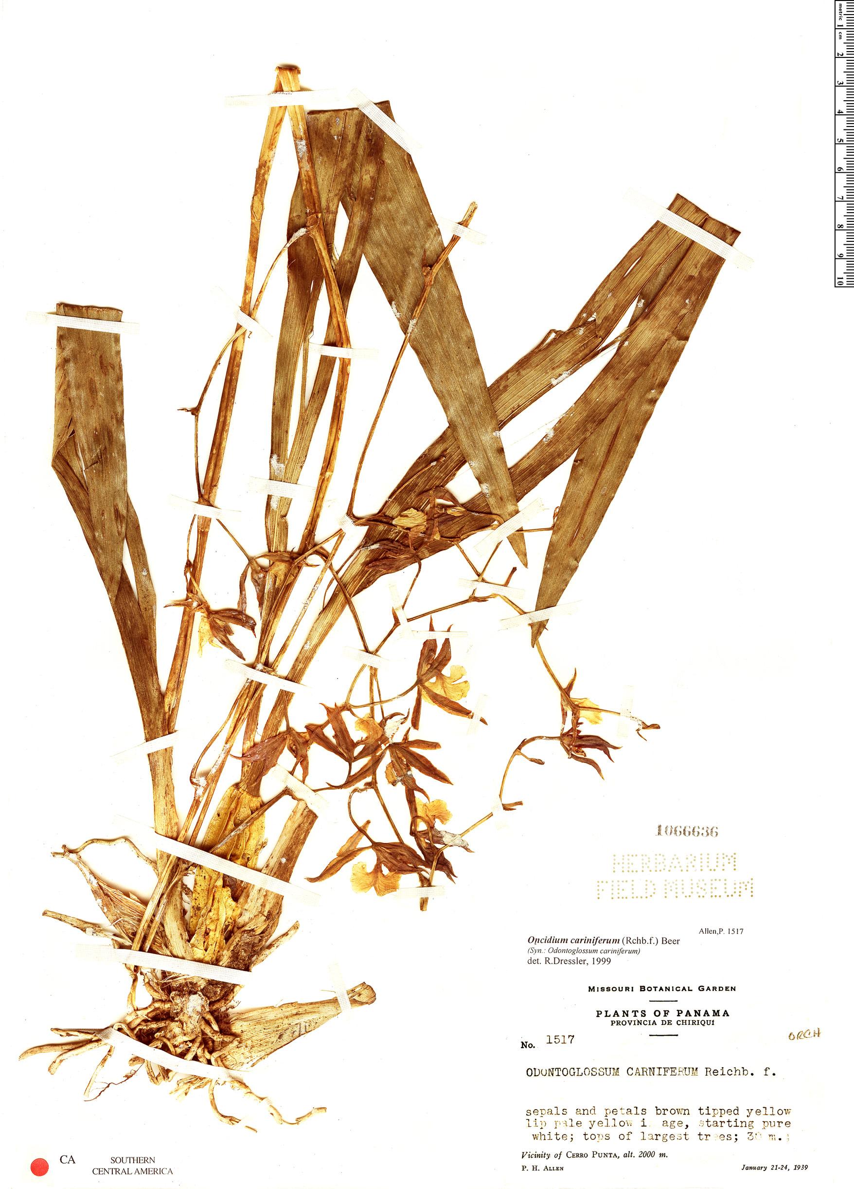 Specimen: Oncidium cariniferum