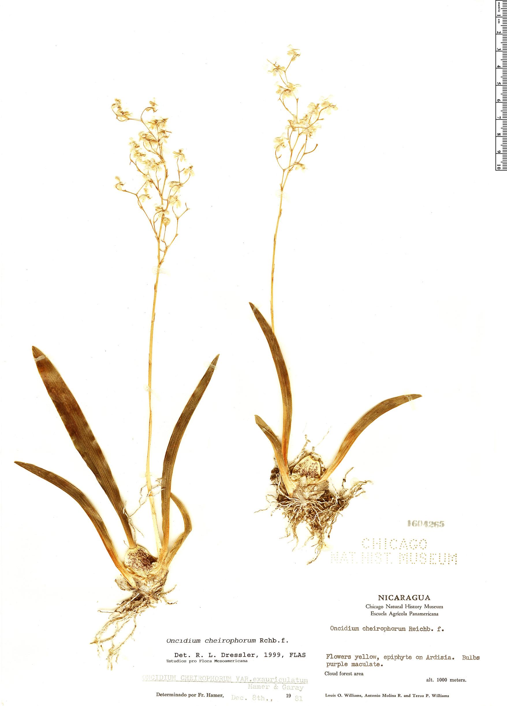 Specimen: Oncidium cheirophorum
