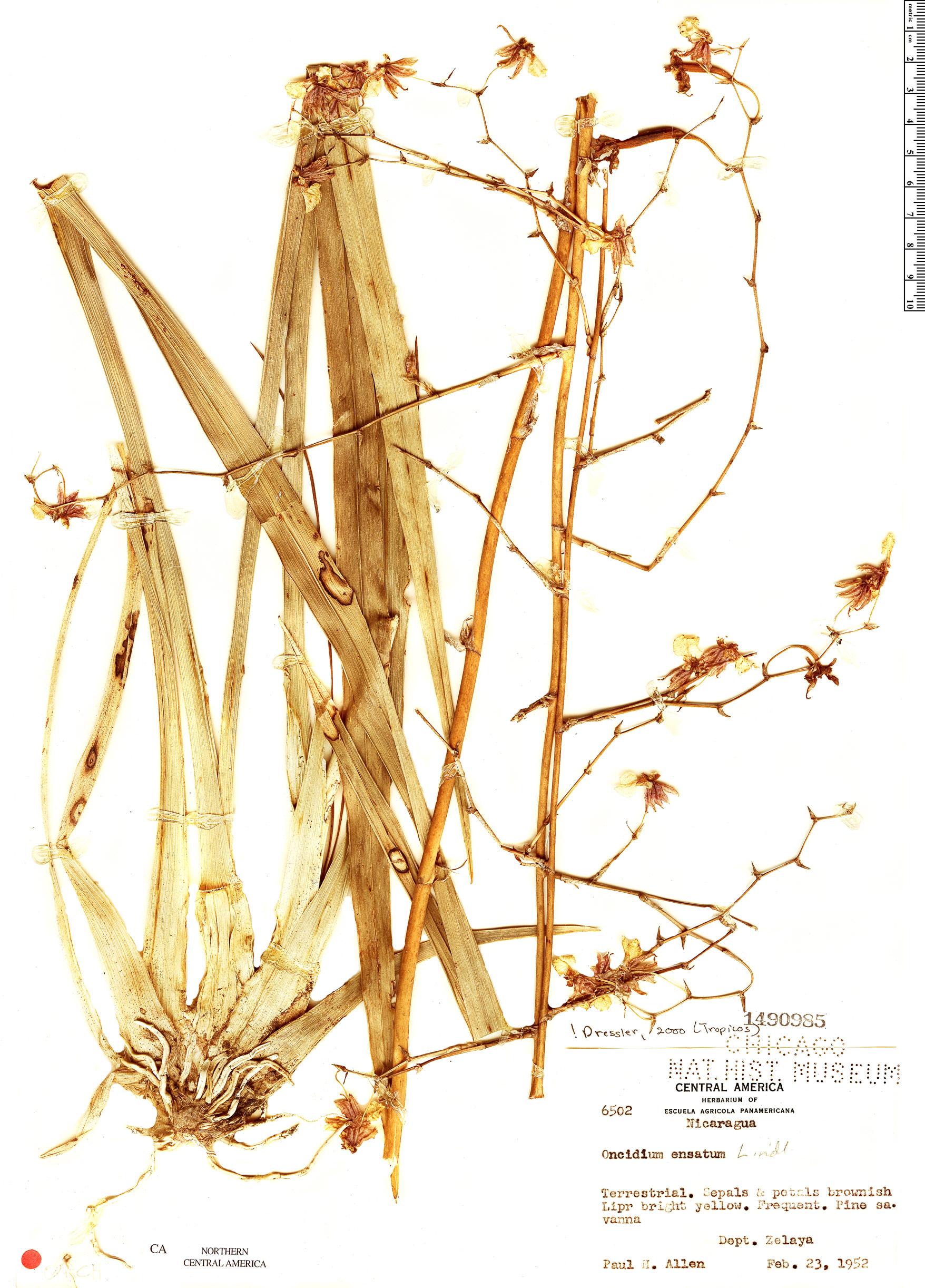 Specimen: Oncidium ensatum