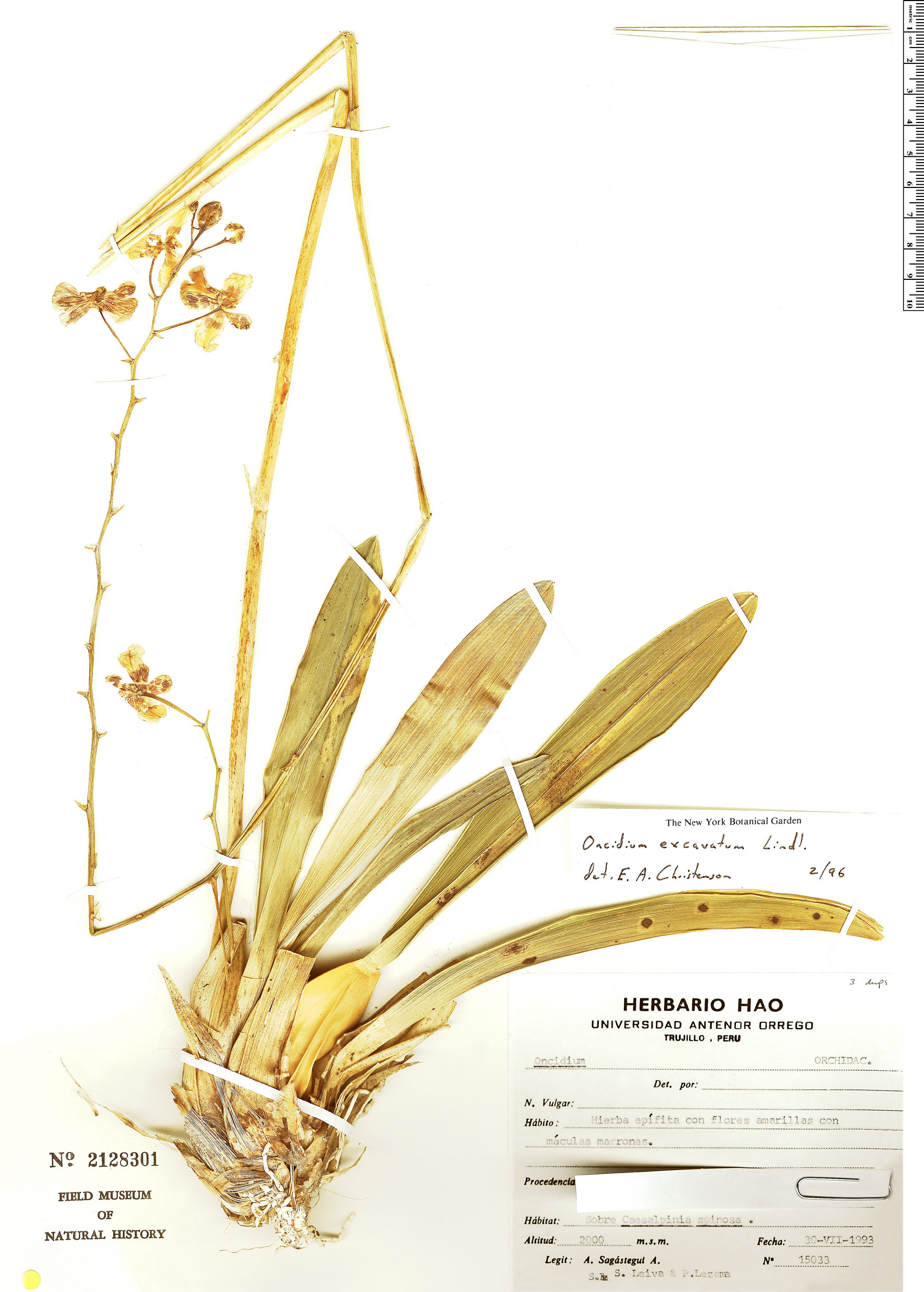 Specimen: Oncidium excavatum