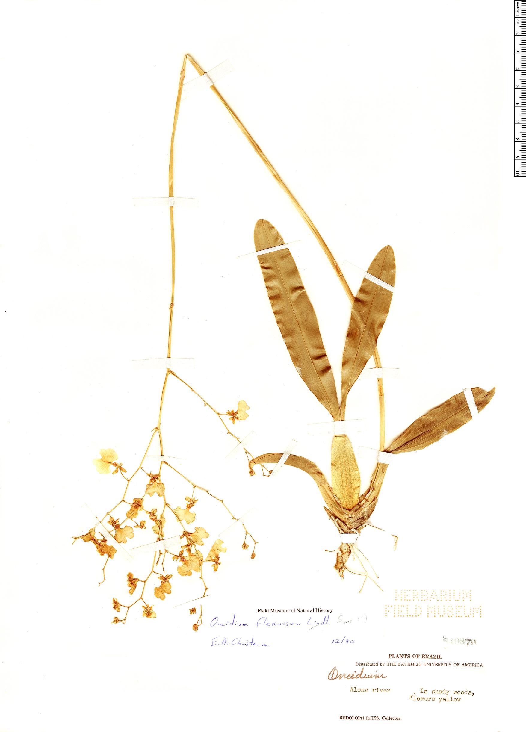 Specimen: Oncidium flexuosum