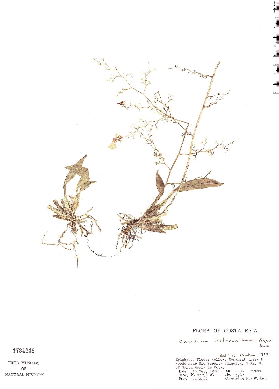 Specimen: Oncidium heteranthum