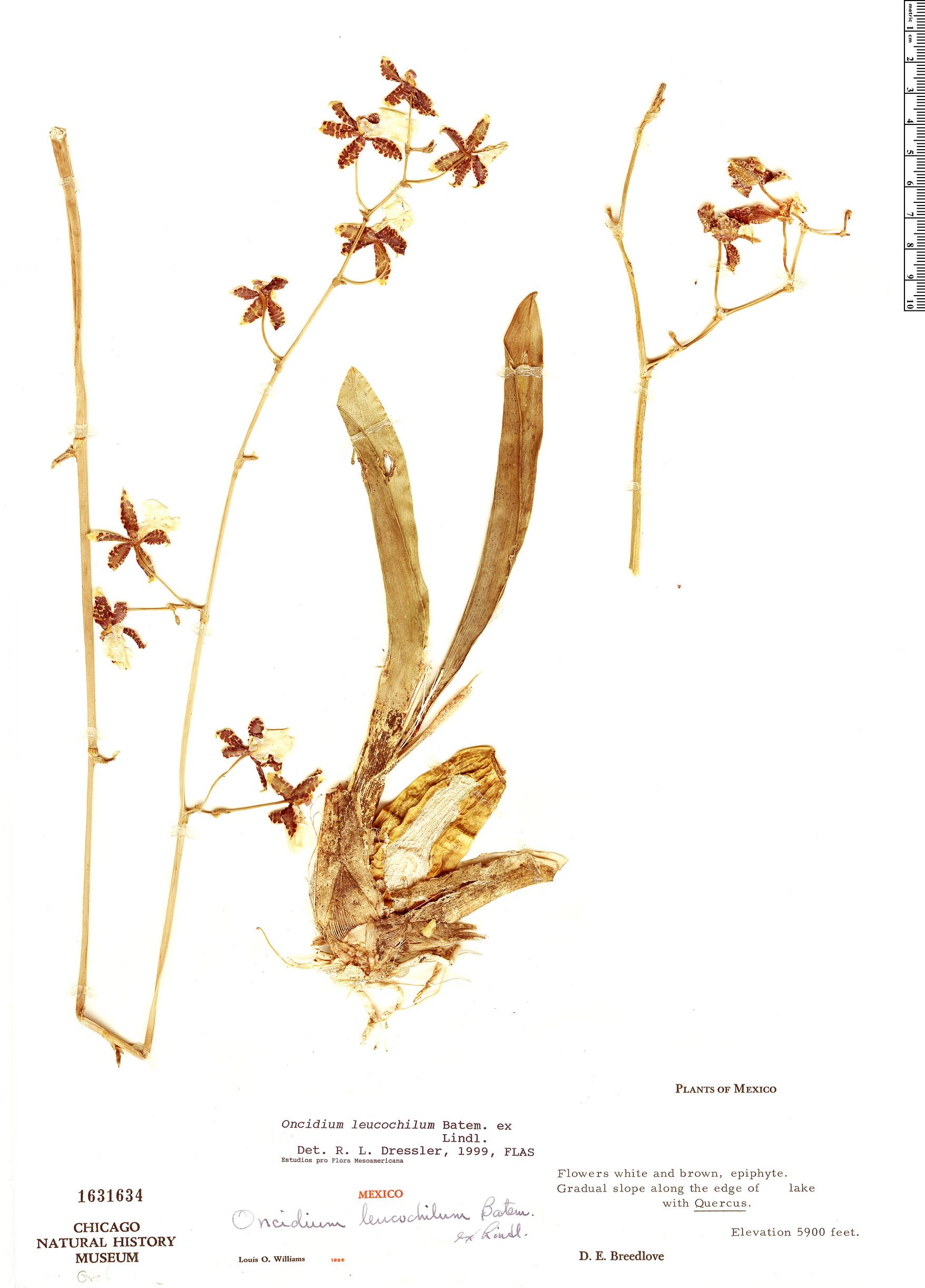 Specimen: Oncidium leucochilum