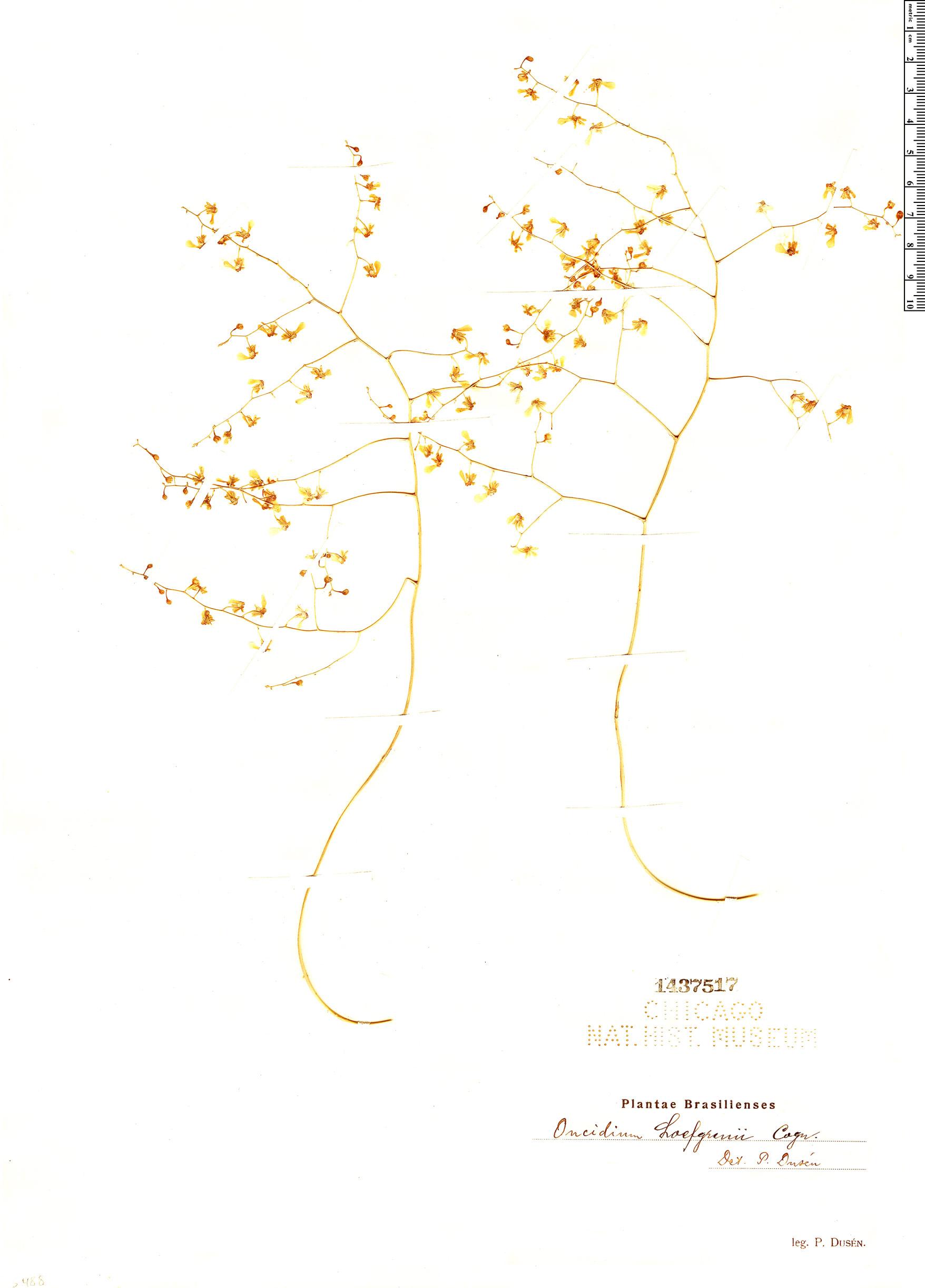 Specimen: Oncidium loefgrenii