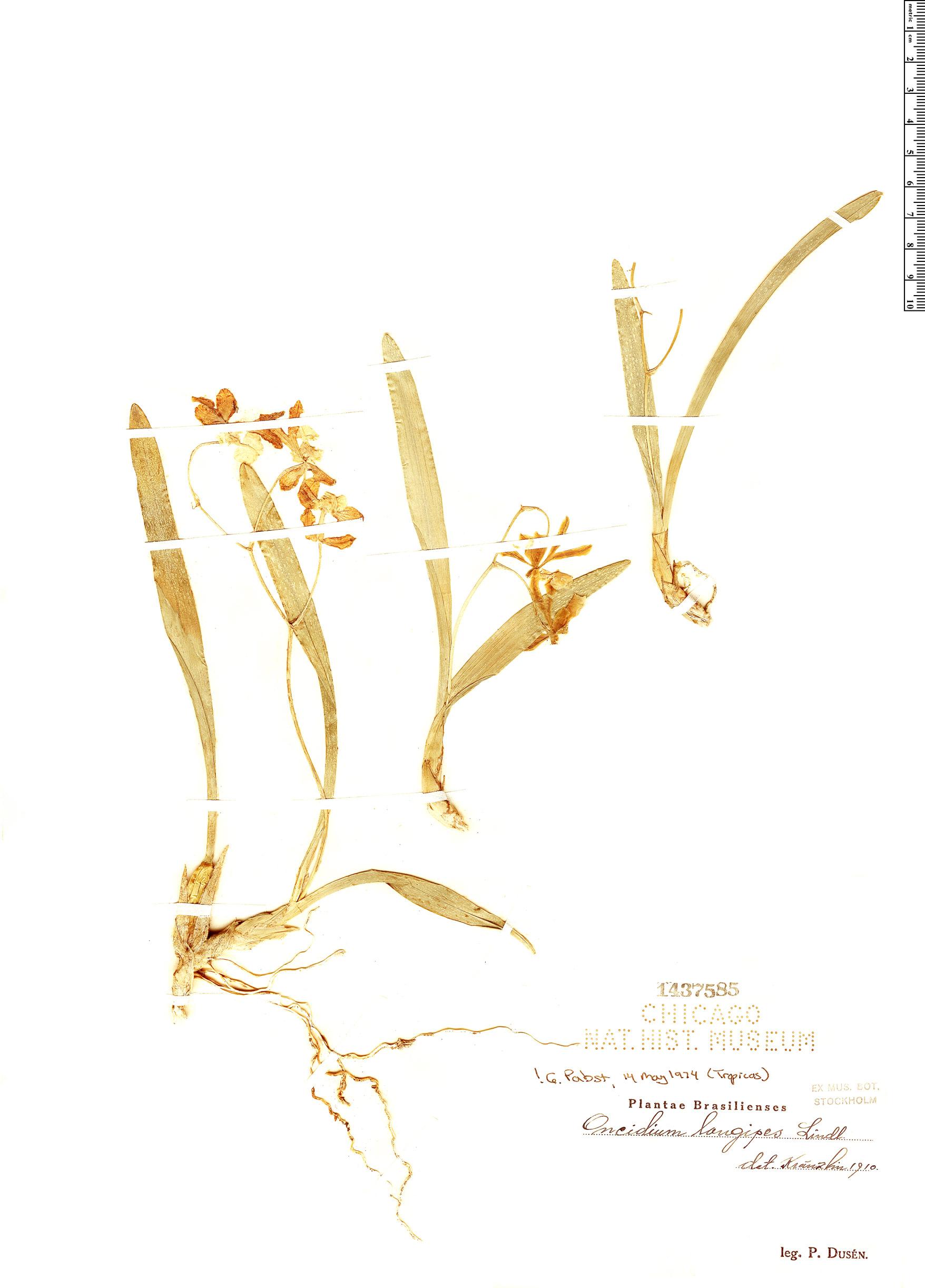 Specimen: Oncidium longipes