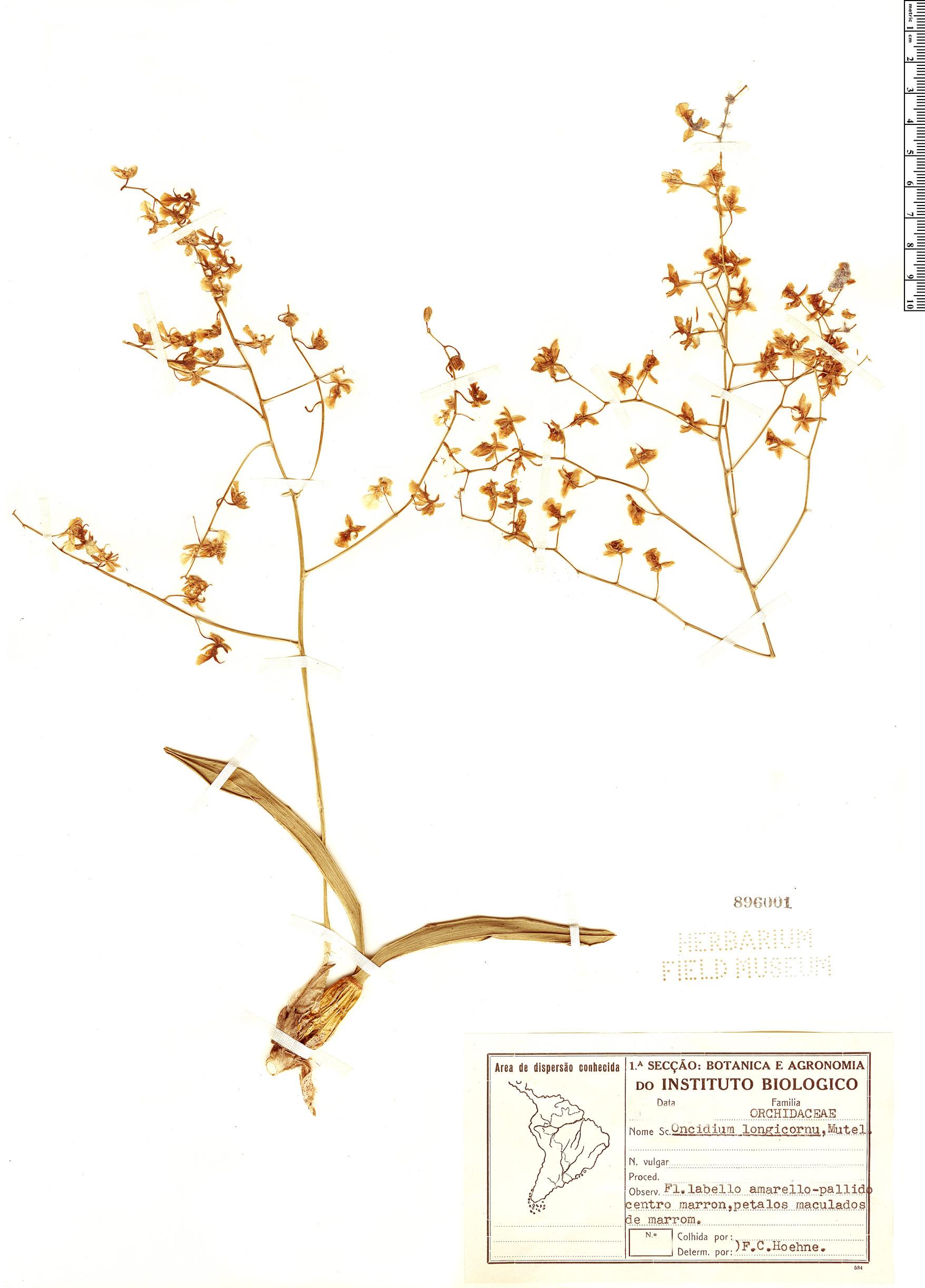 Specimen: Oncidium longicornu