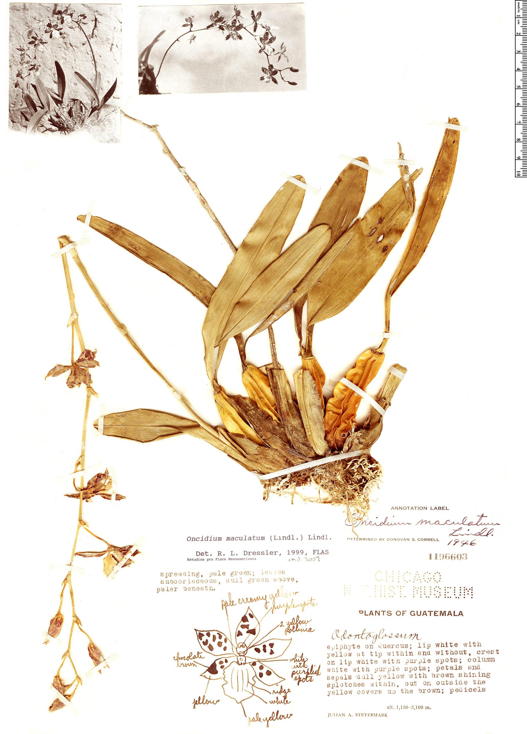 Specimen: Oncidium maculatum