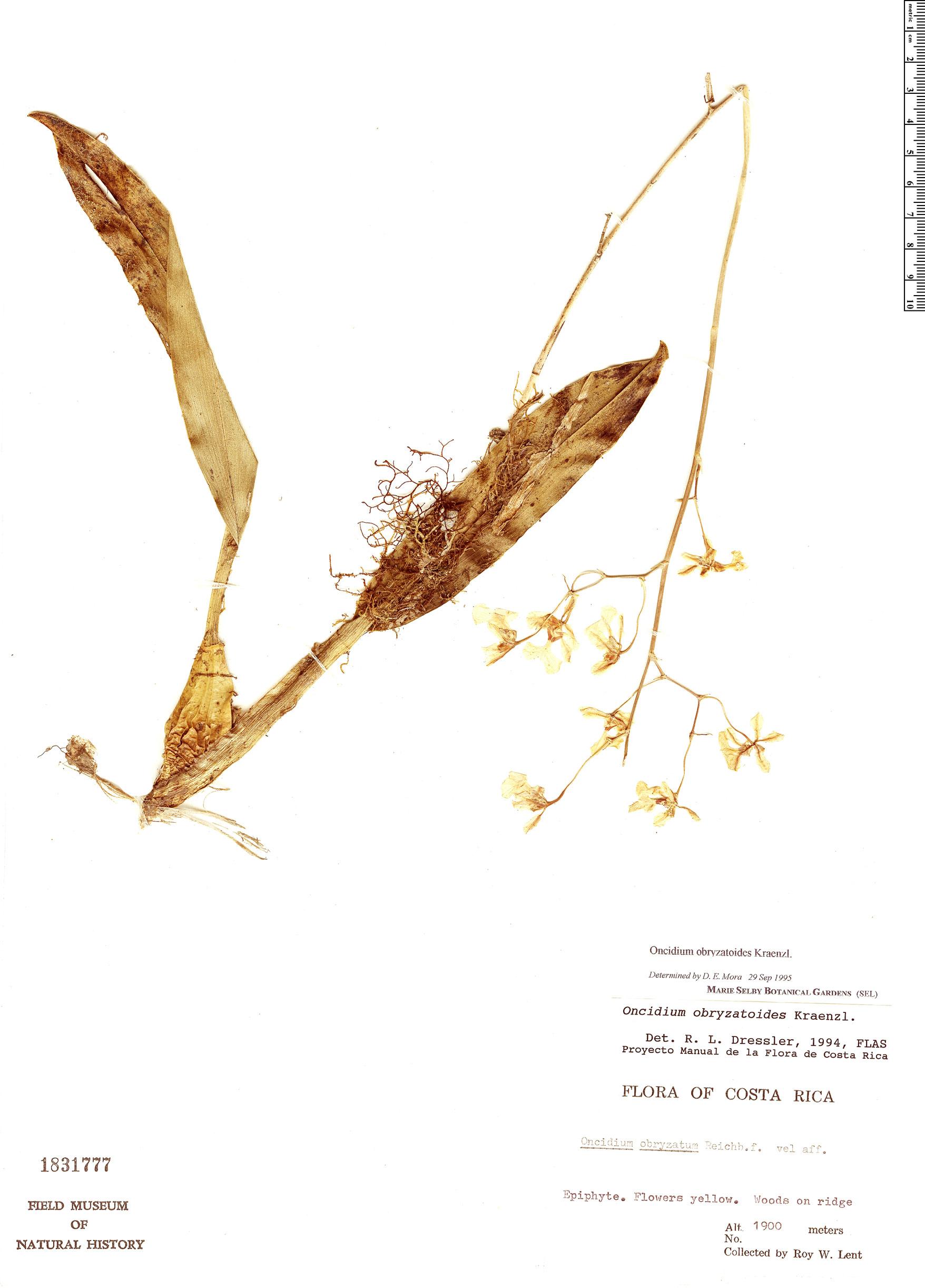 Specimen: Oncidium obryzatoides