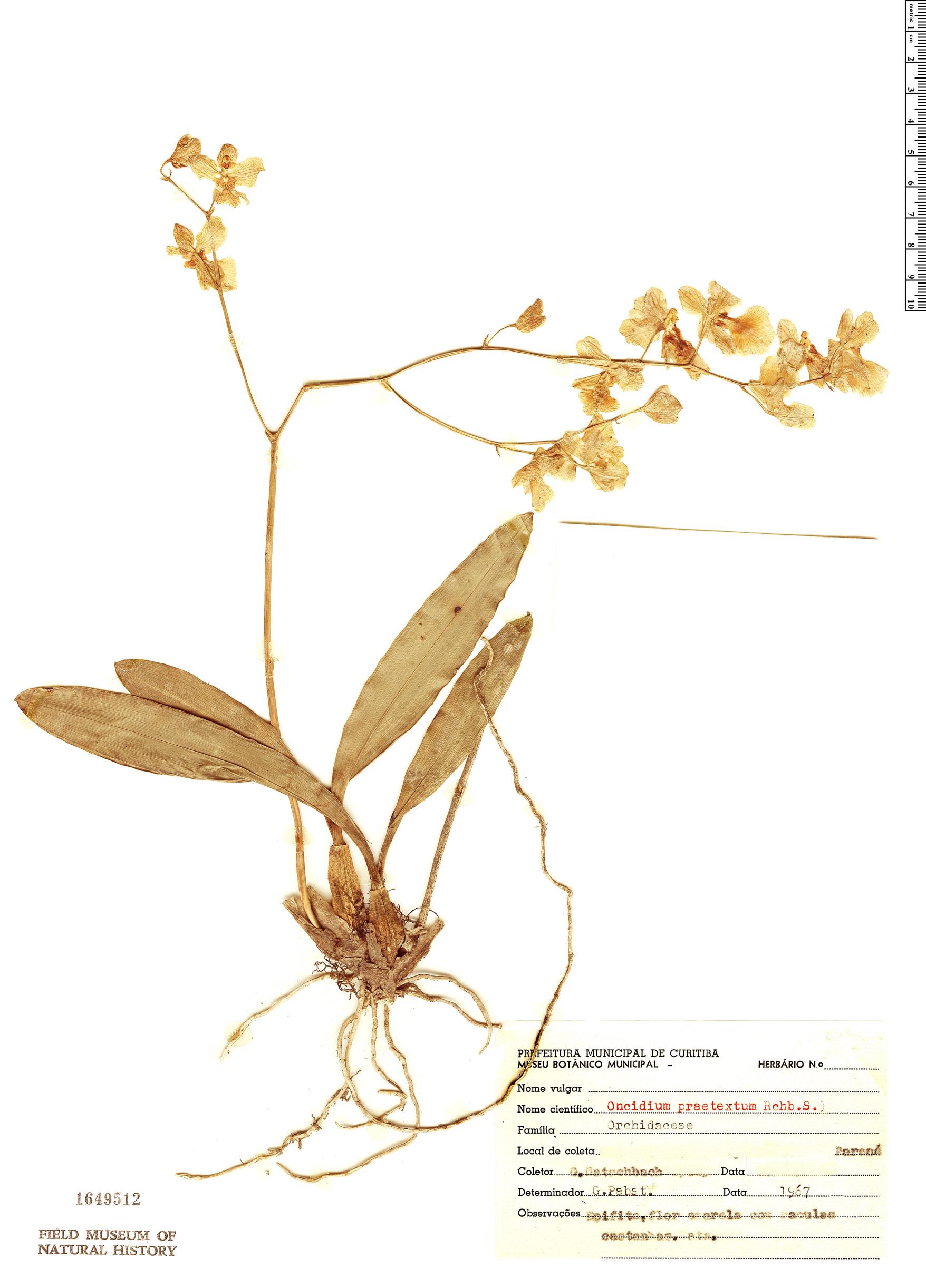 Specimen: Oncidium praetextum