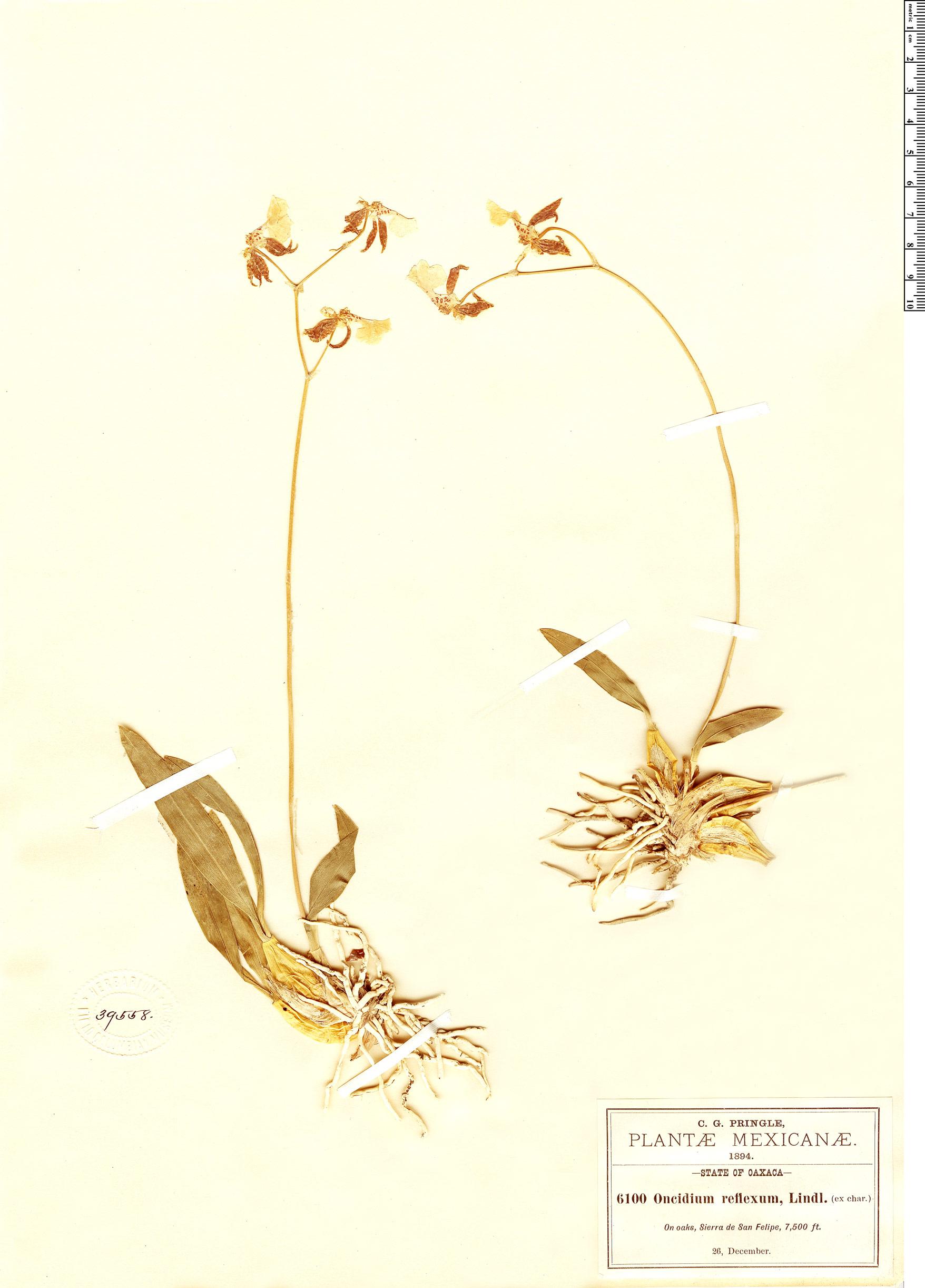 Specimen: Oncidium reflexum