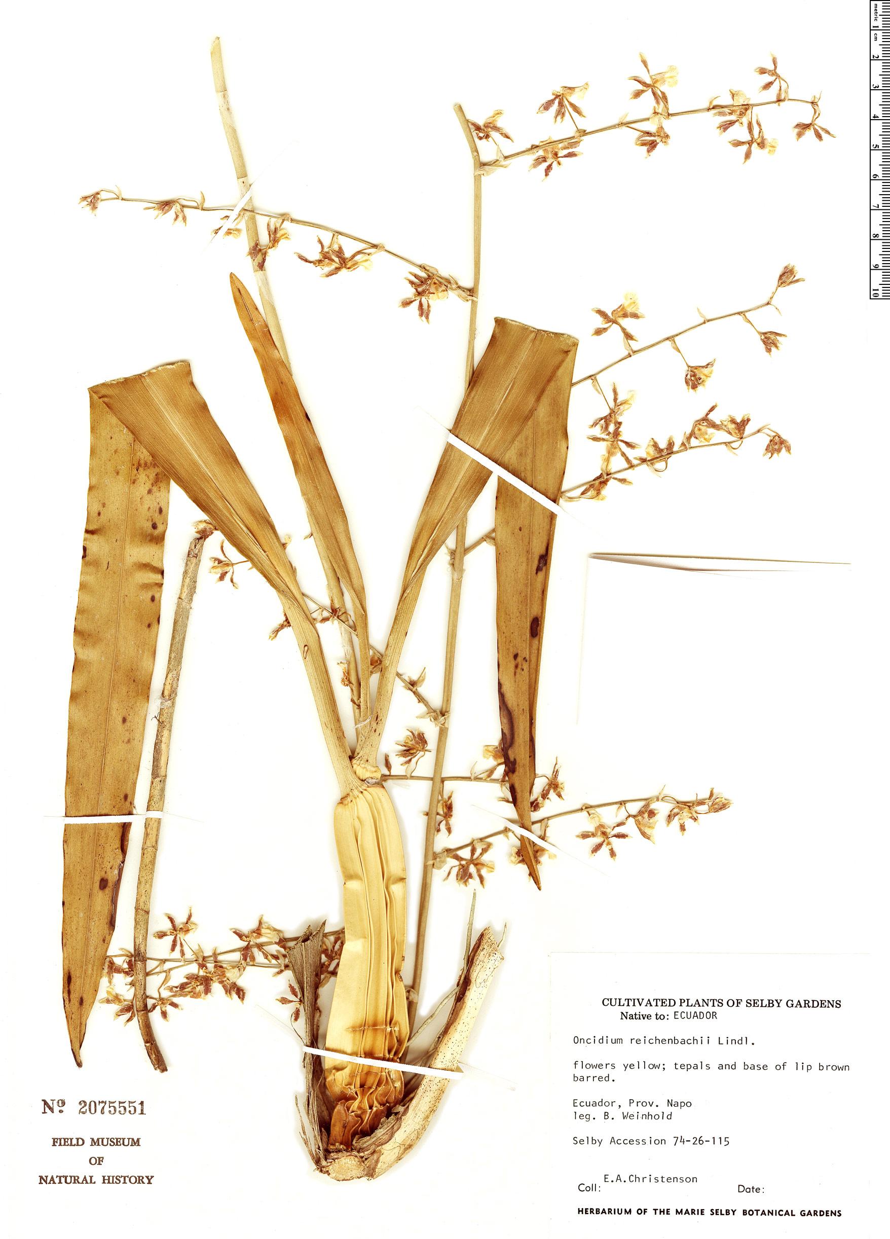 Specimen: Oncidium reichenbachii