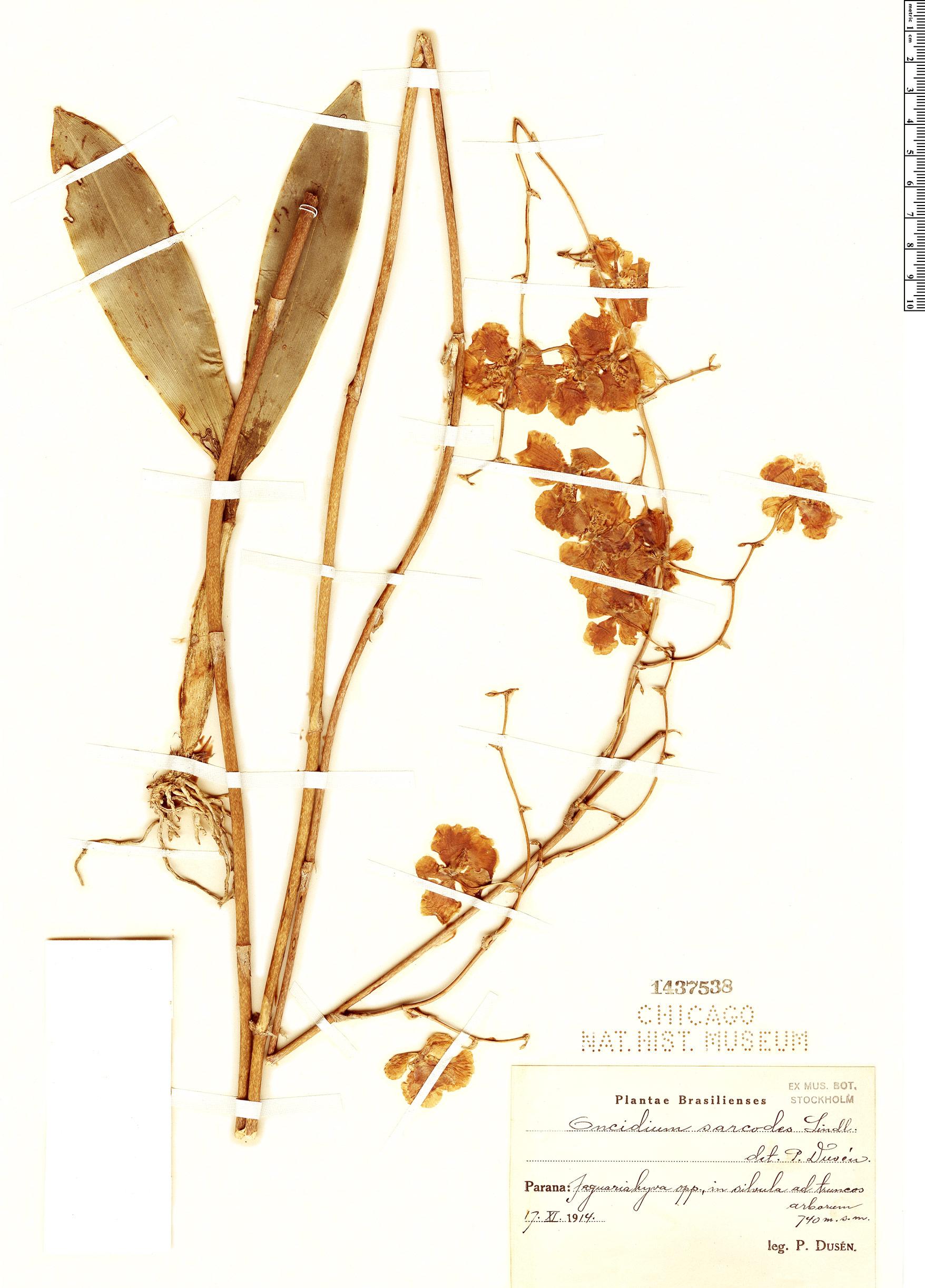 Specimen: Oncidium sarcodes