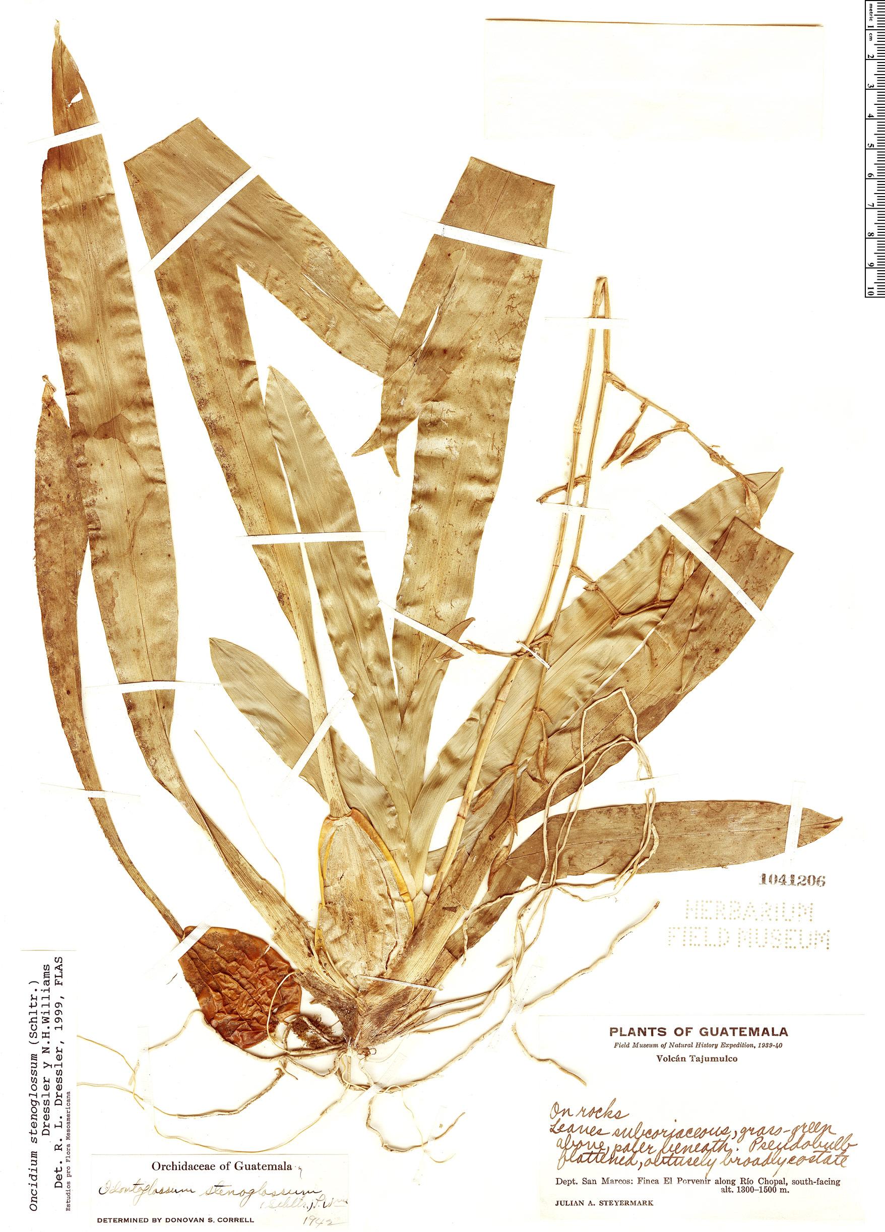 Specimen: Oncidium stenoglossum