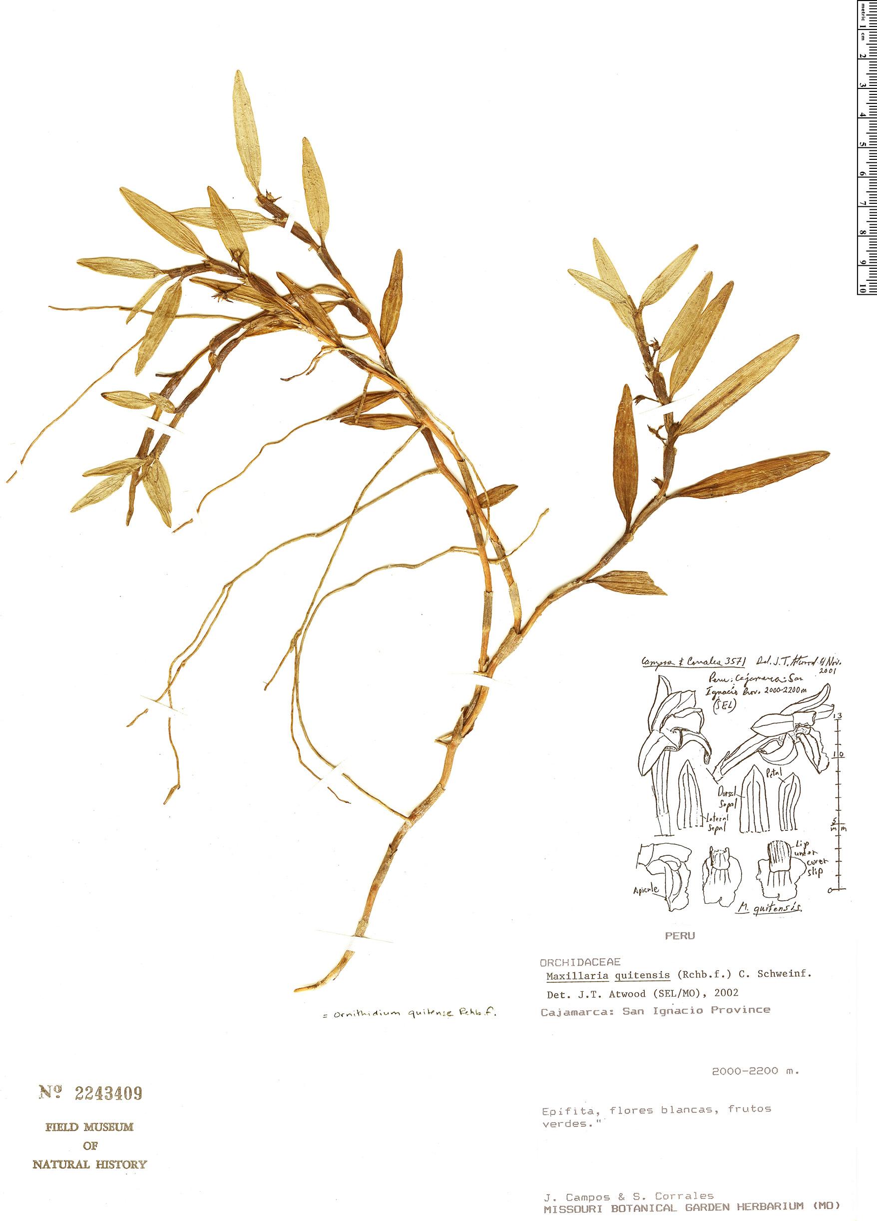Specimen: Maxillaria quitensis