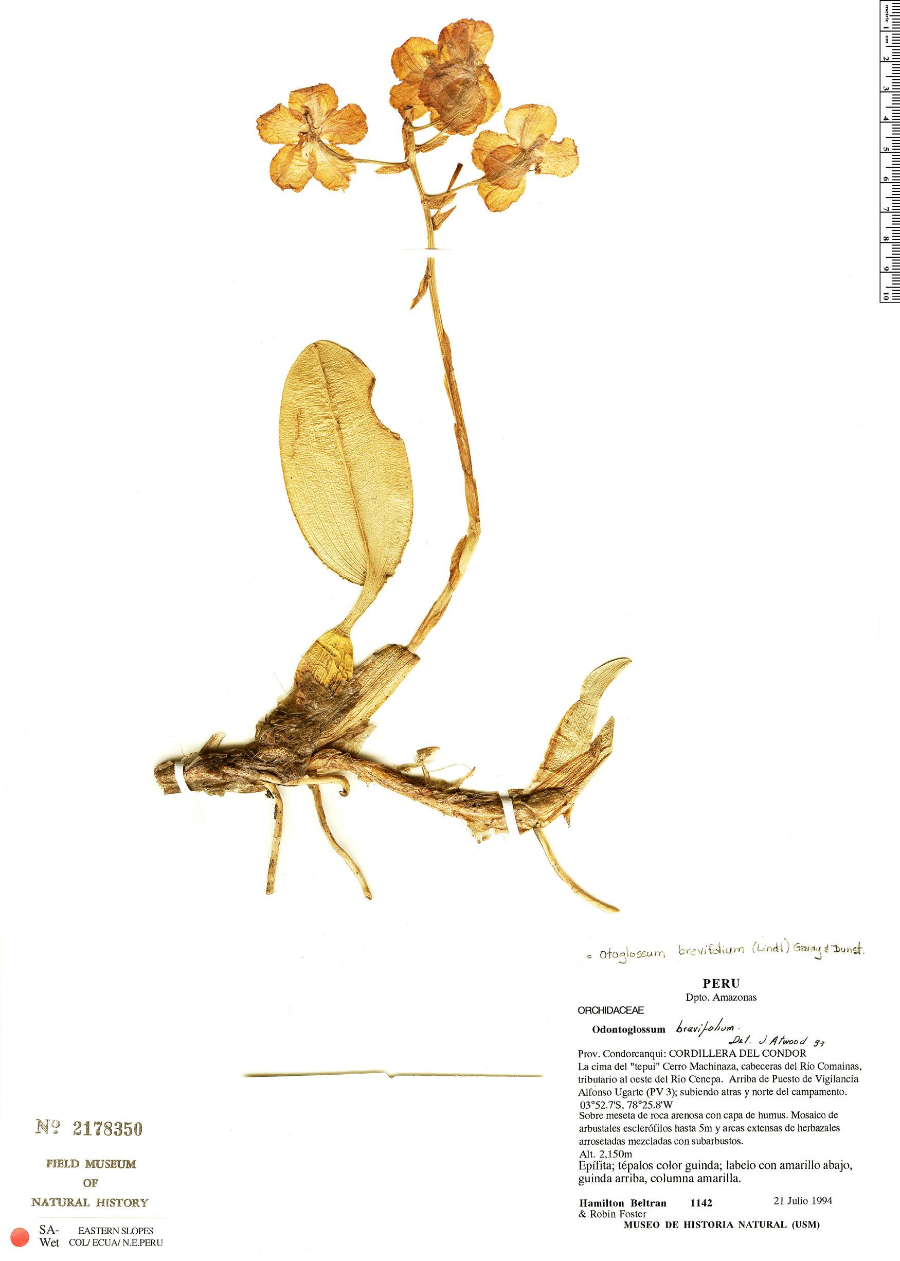 Specimen: Otoglossum brevifolium