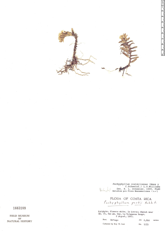 Specimen: Pachyphyllum costaricense