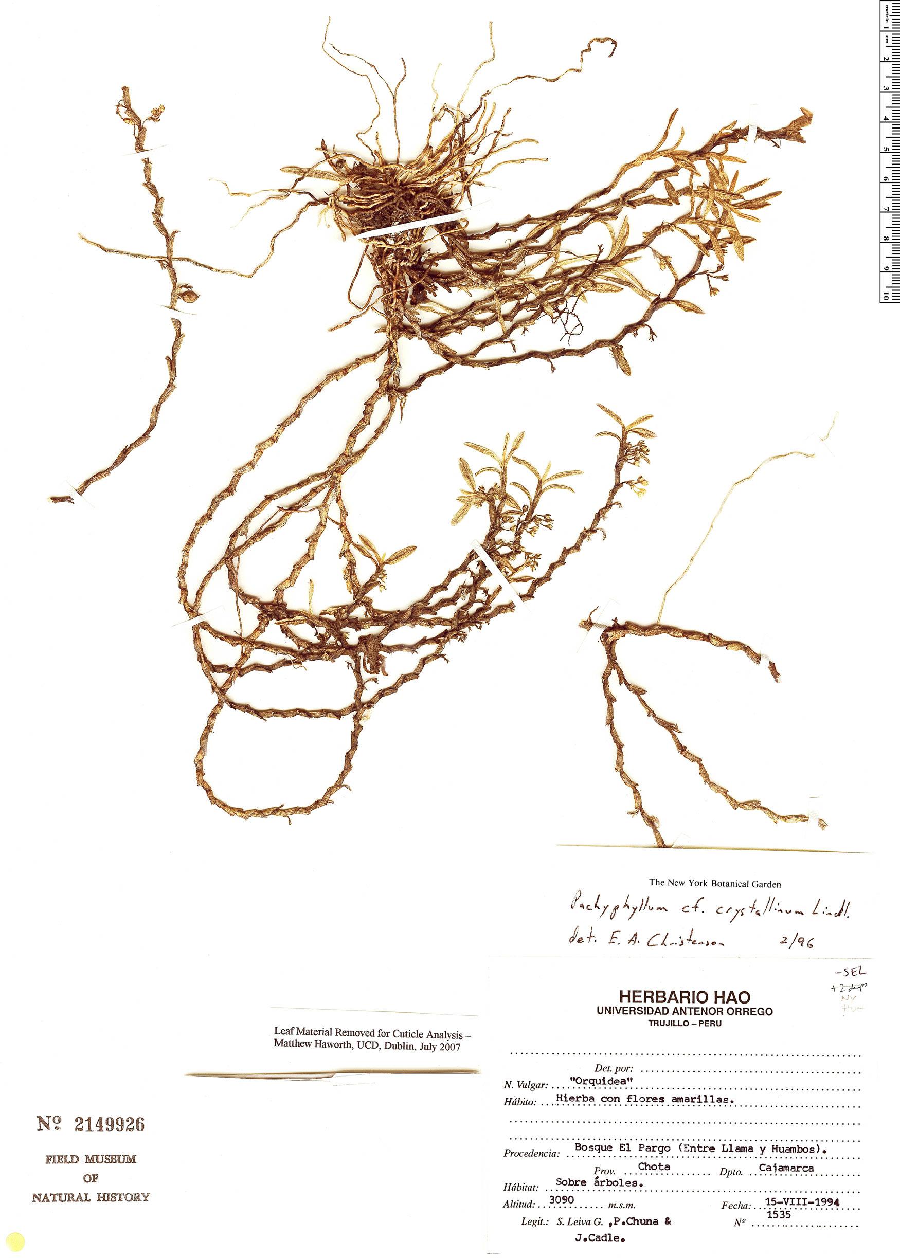 Specimen: Pachyphyllum crystallinum