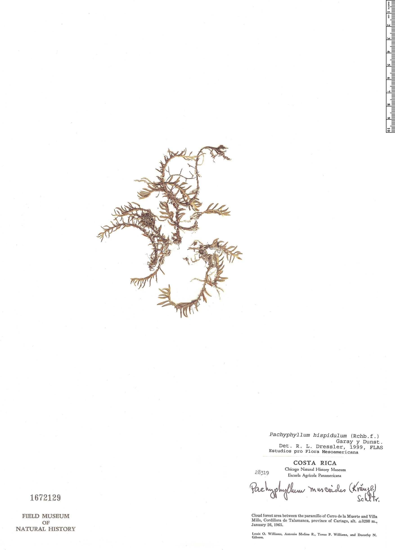 Specimen: Pachyphyllum hispidulum