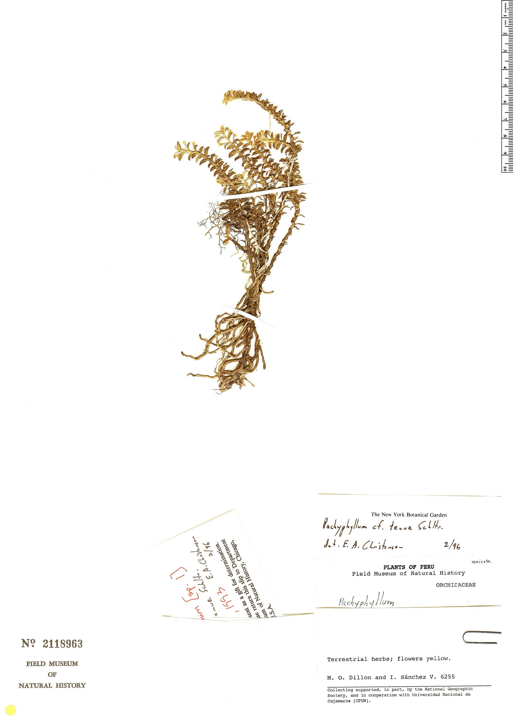 Specimen: Pachyphyllum tenue